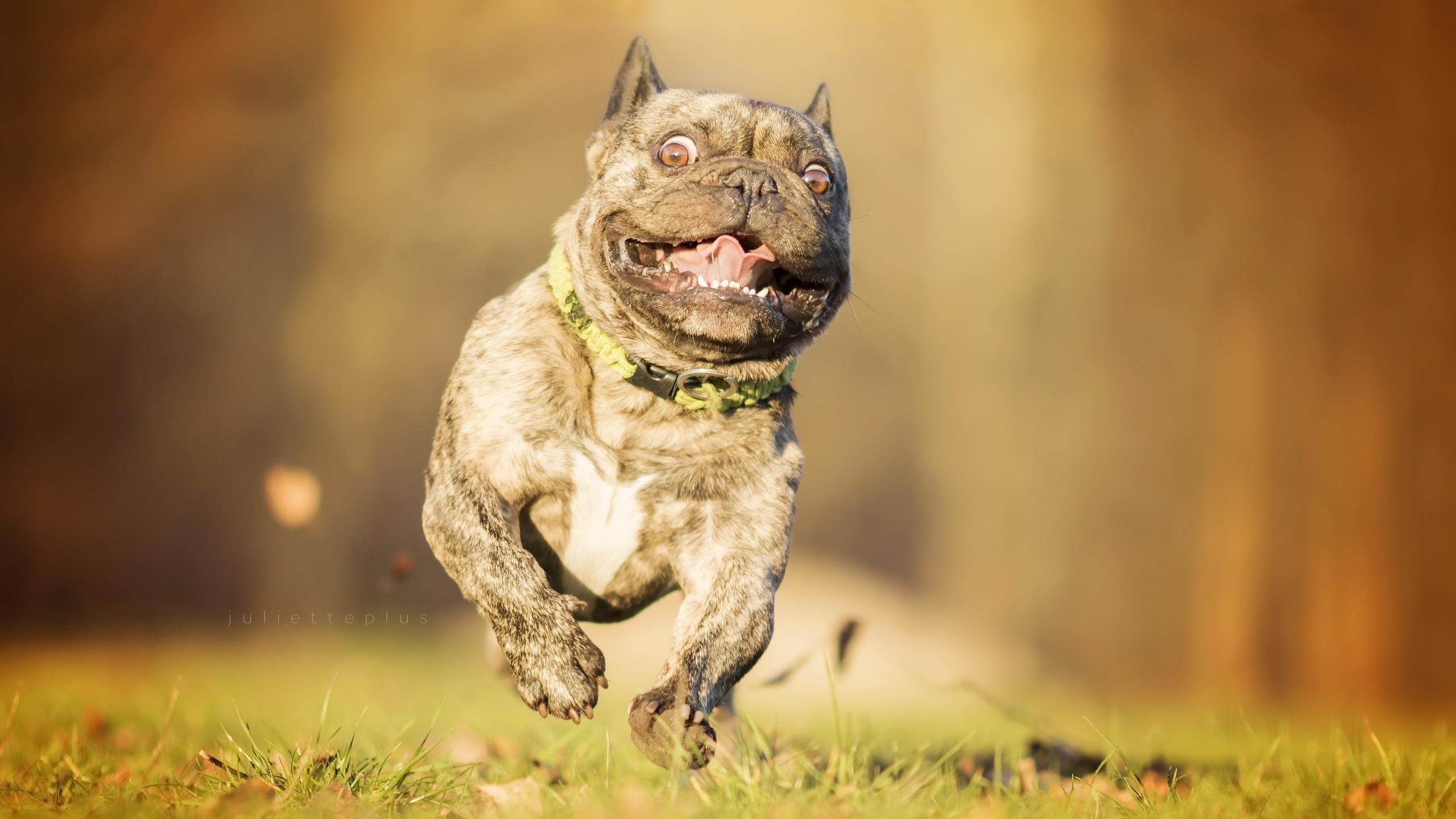 Собака животное французский бульдог  № 2228267 бесплатно