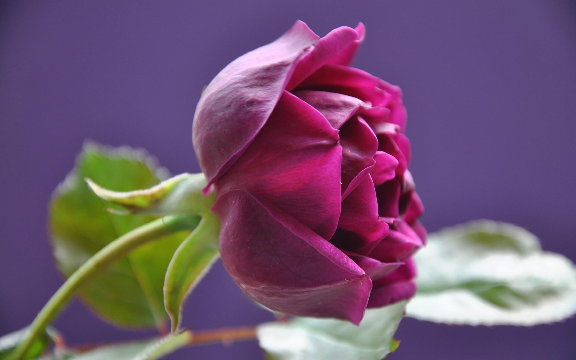 роза,лепестки,листья  № 705645 без смс