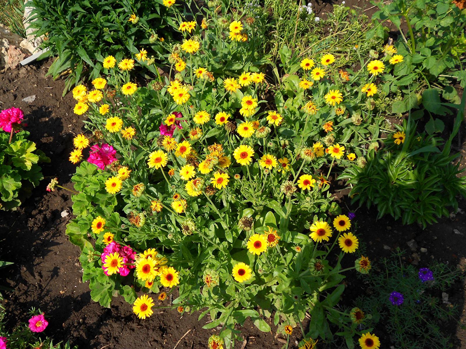 Фото желтых цветов на клумбе