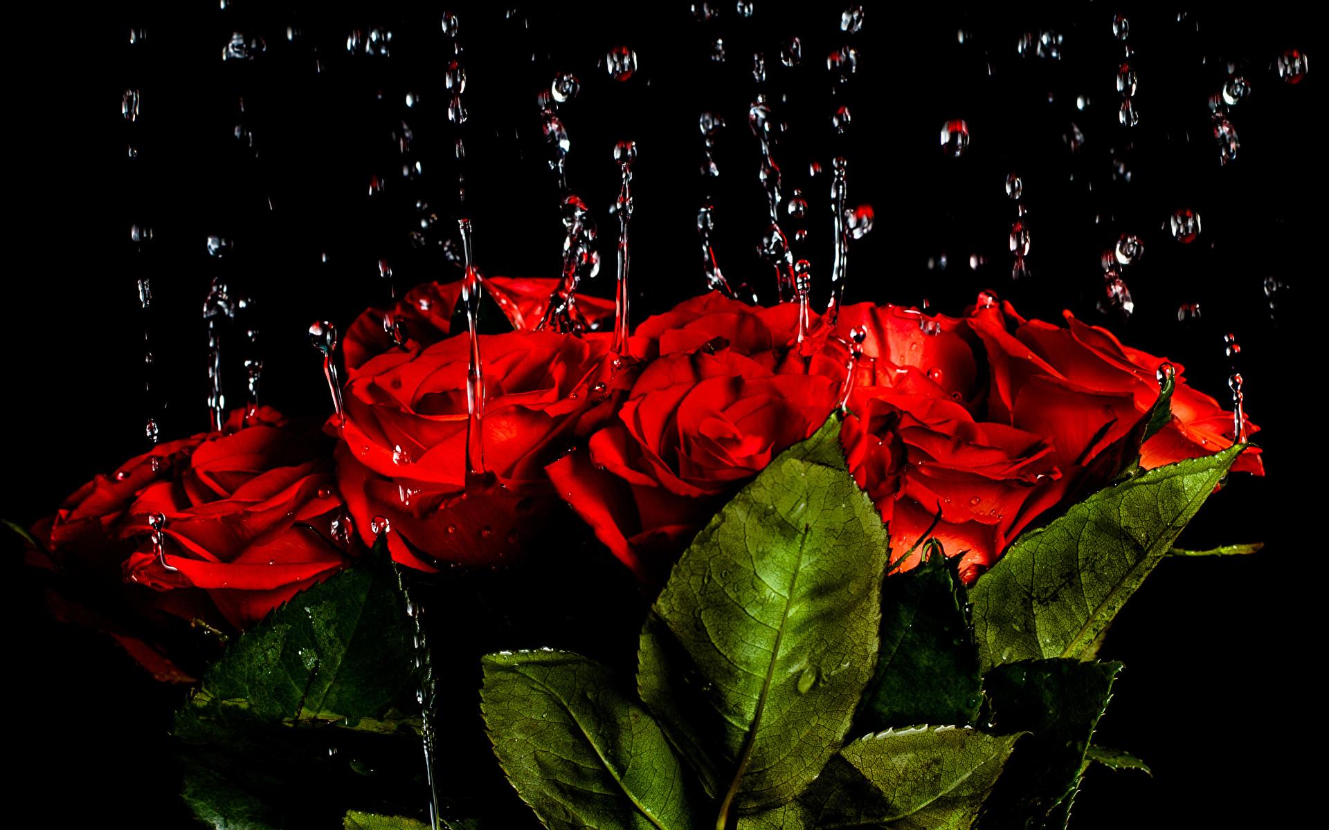 Обои на рабочий стол красная роза на черном фоне