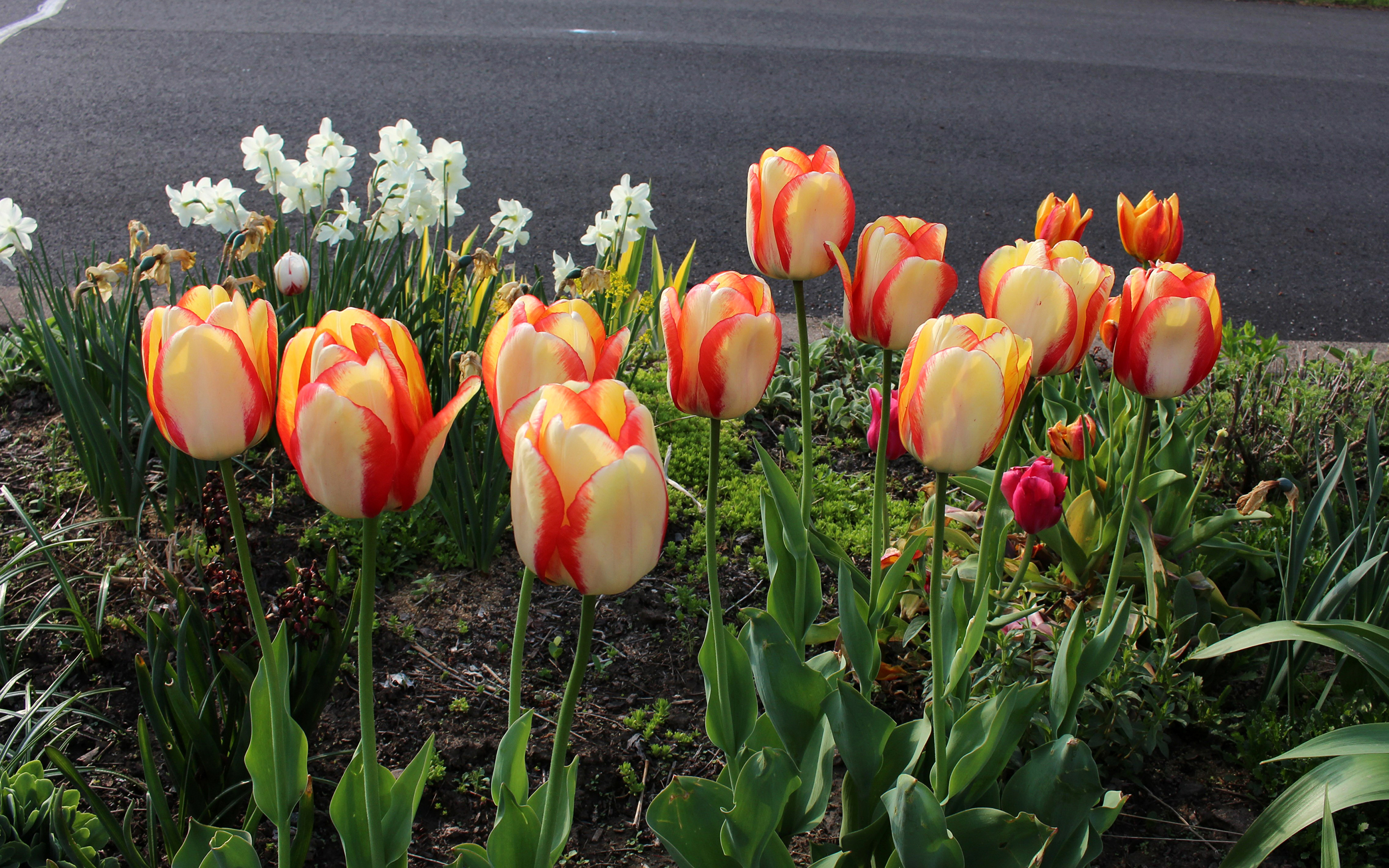 тюльпаны клумба  № 1349424 бесплатно