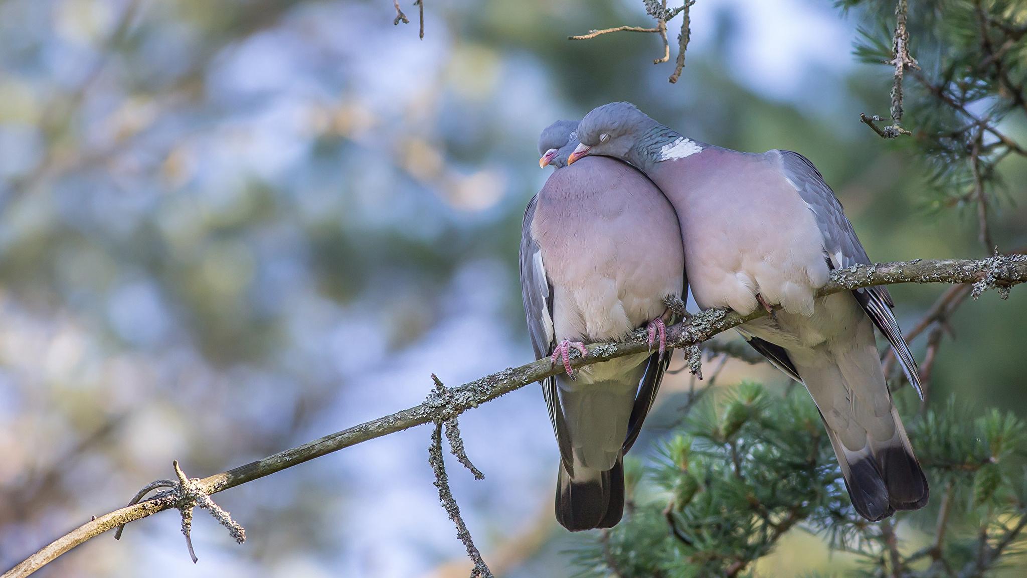 природа белые птицы ветка голуби  № 592528  скачать