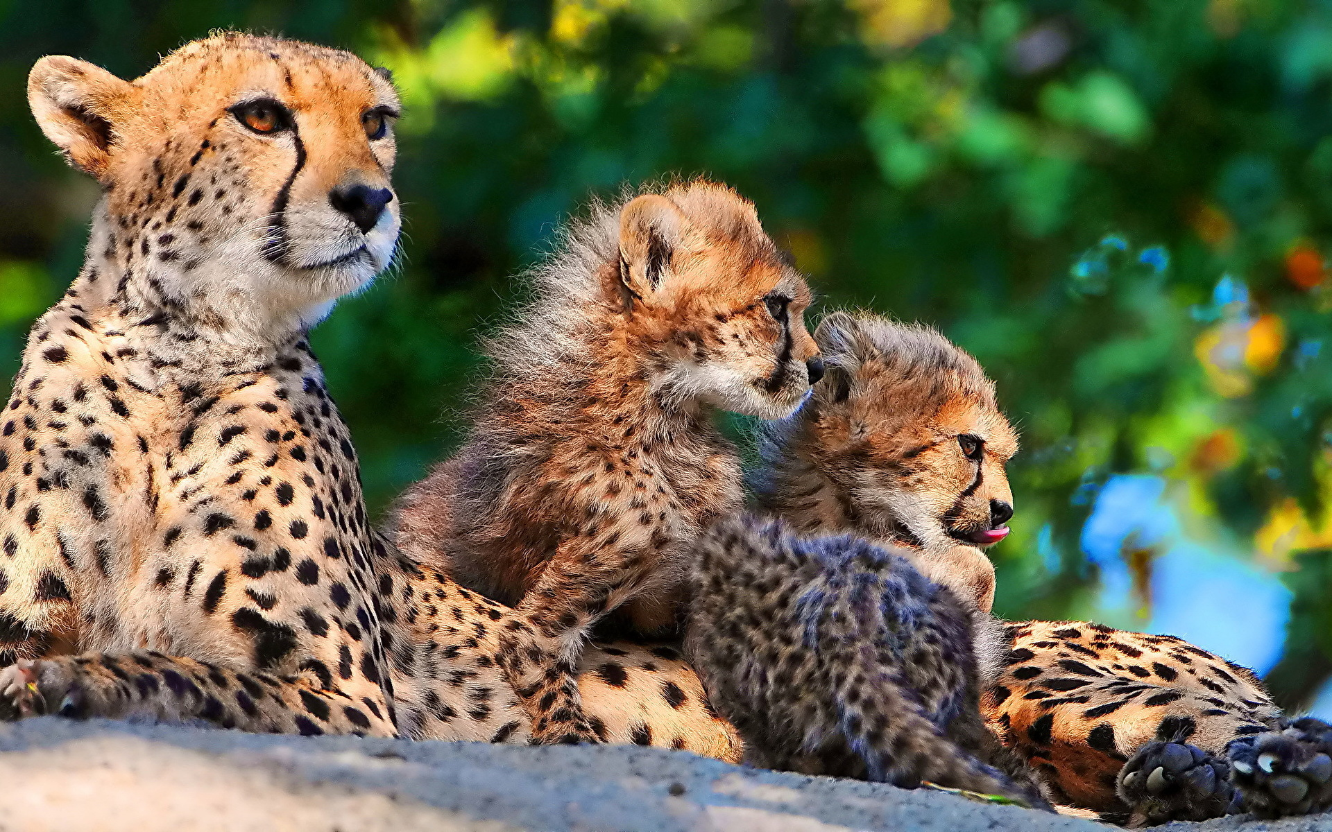 гепарды взгляд деревья  № 647342 бесплатно