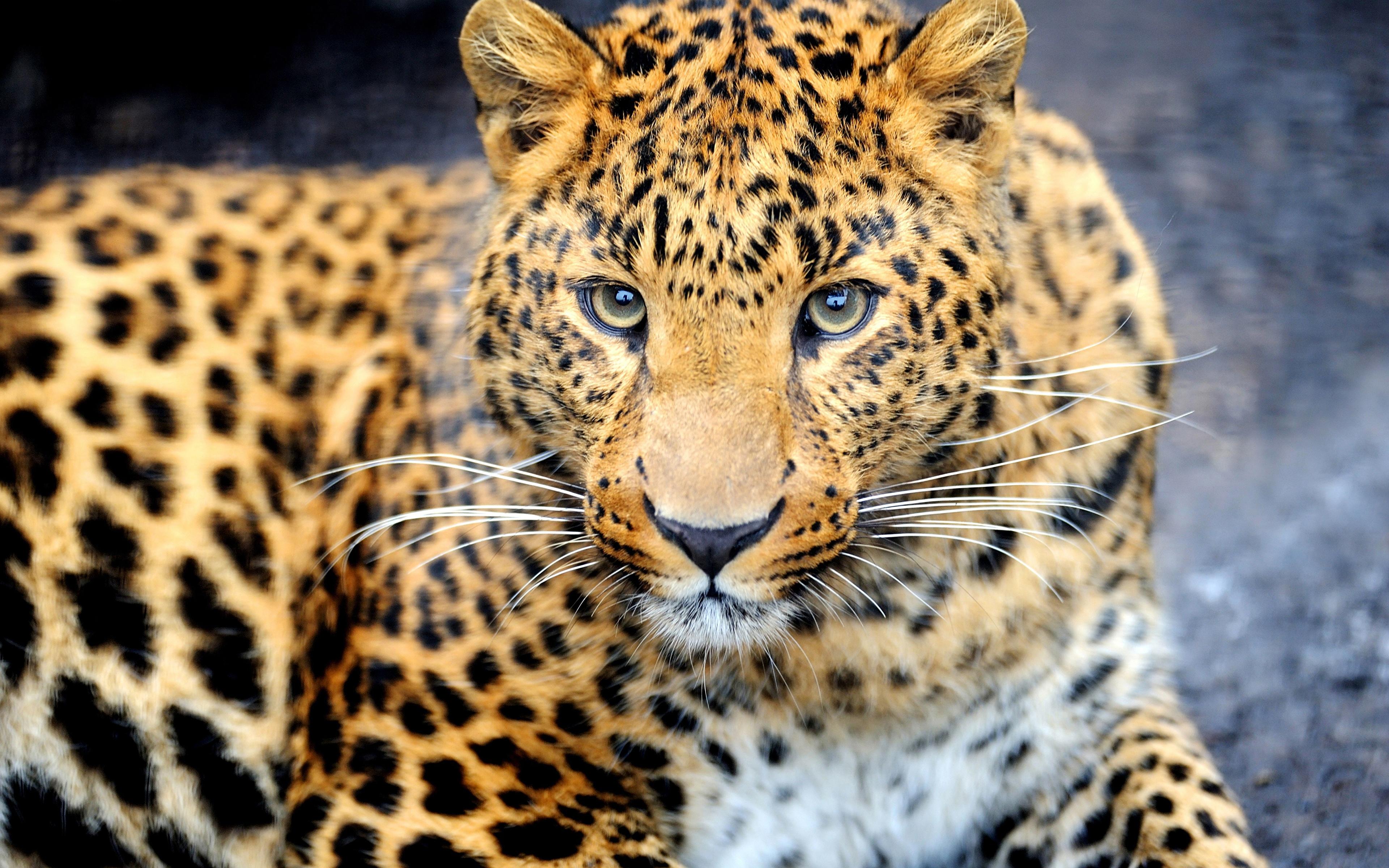 Обои леопард на рабочий стол красивые обои