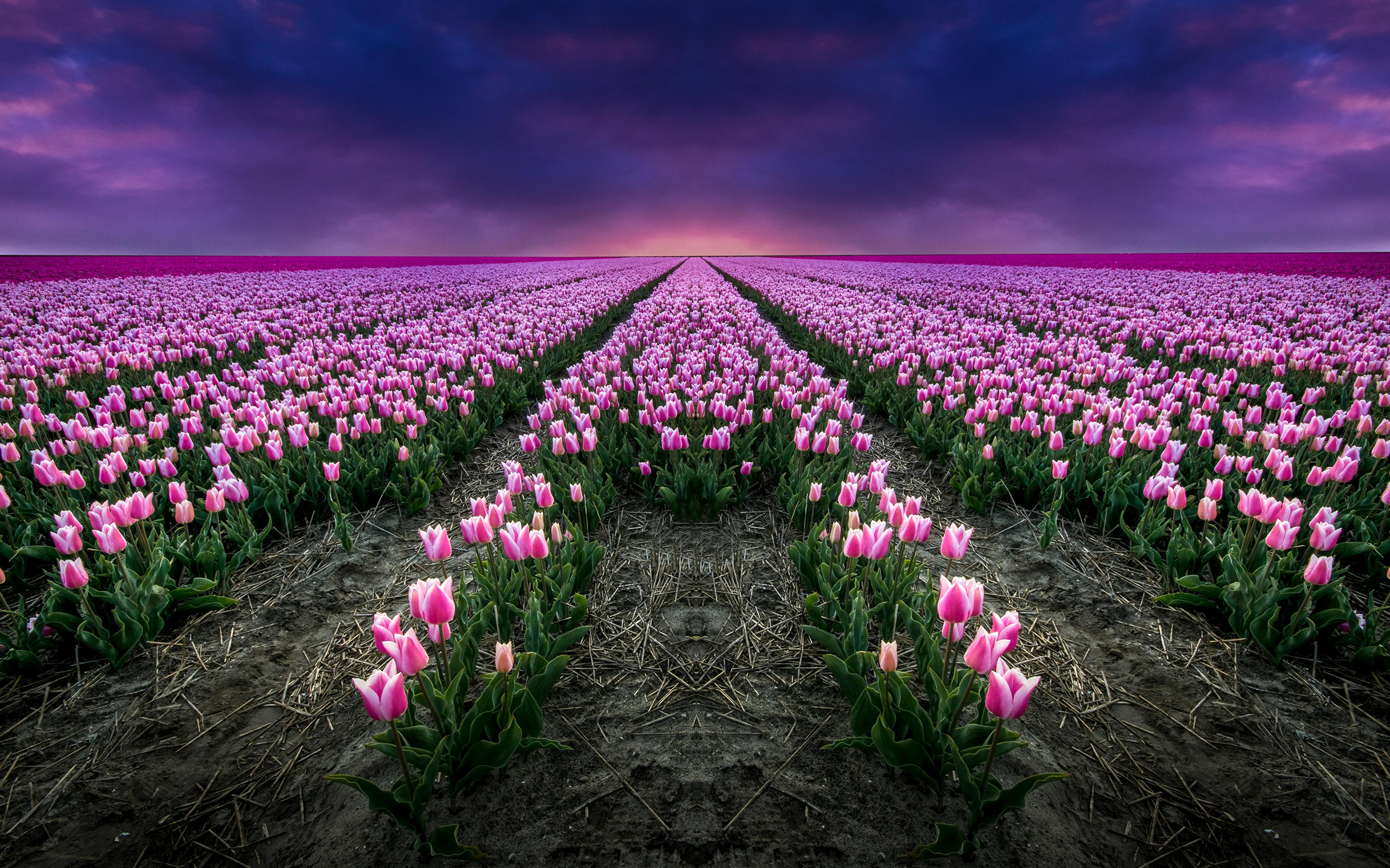 тюльпаны поляна закат  № 3285798 загрузить