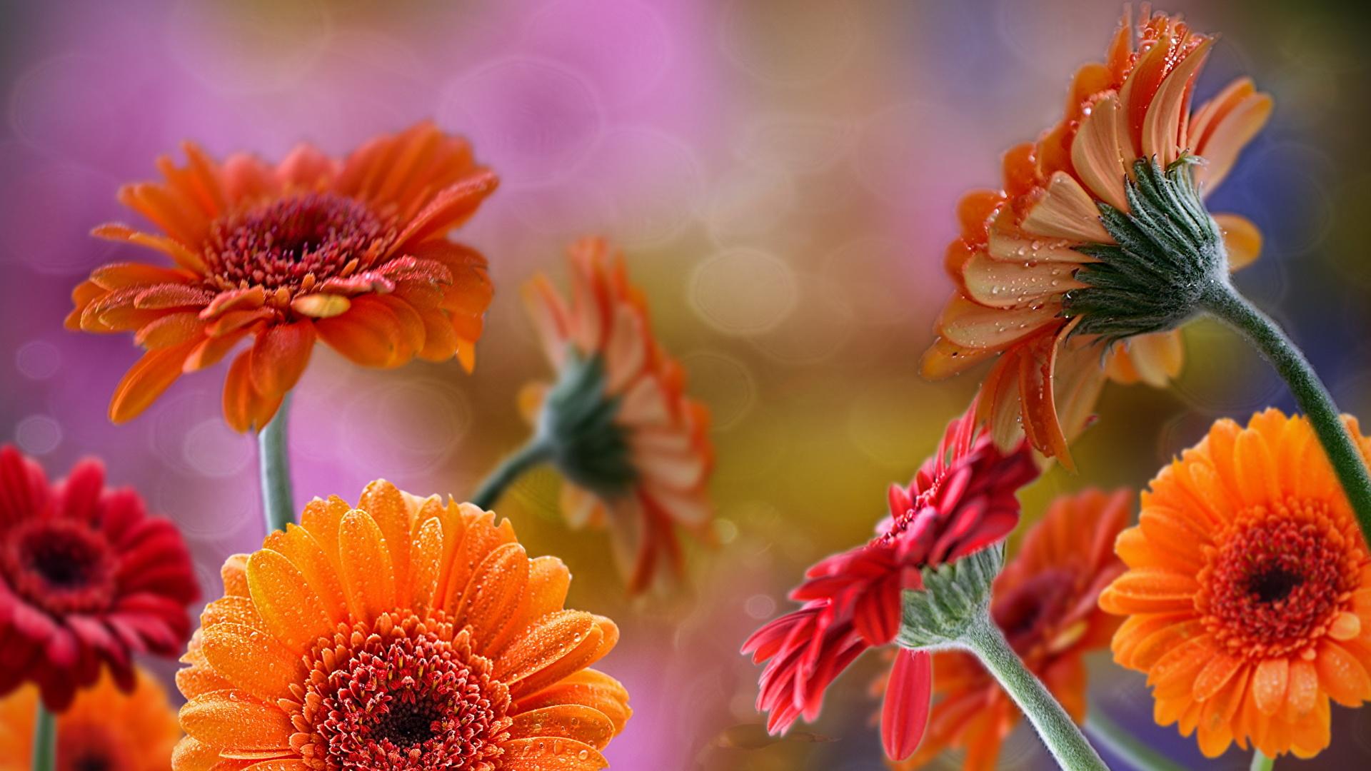 Обои для рабочего стола цветы гербера