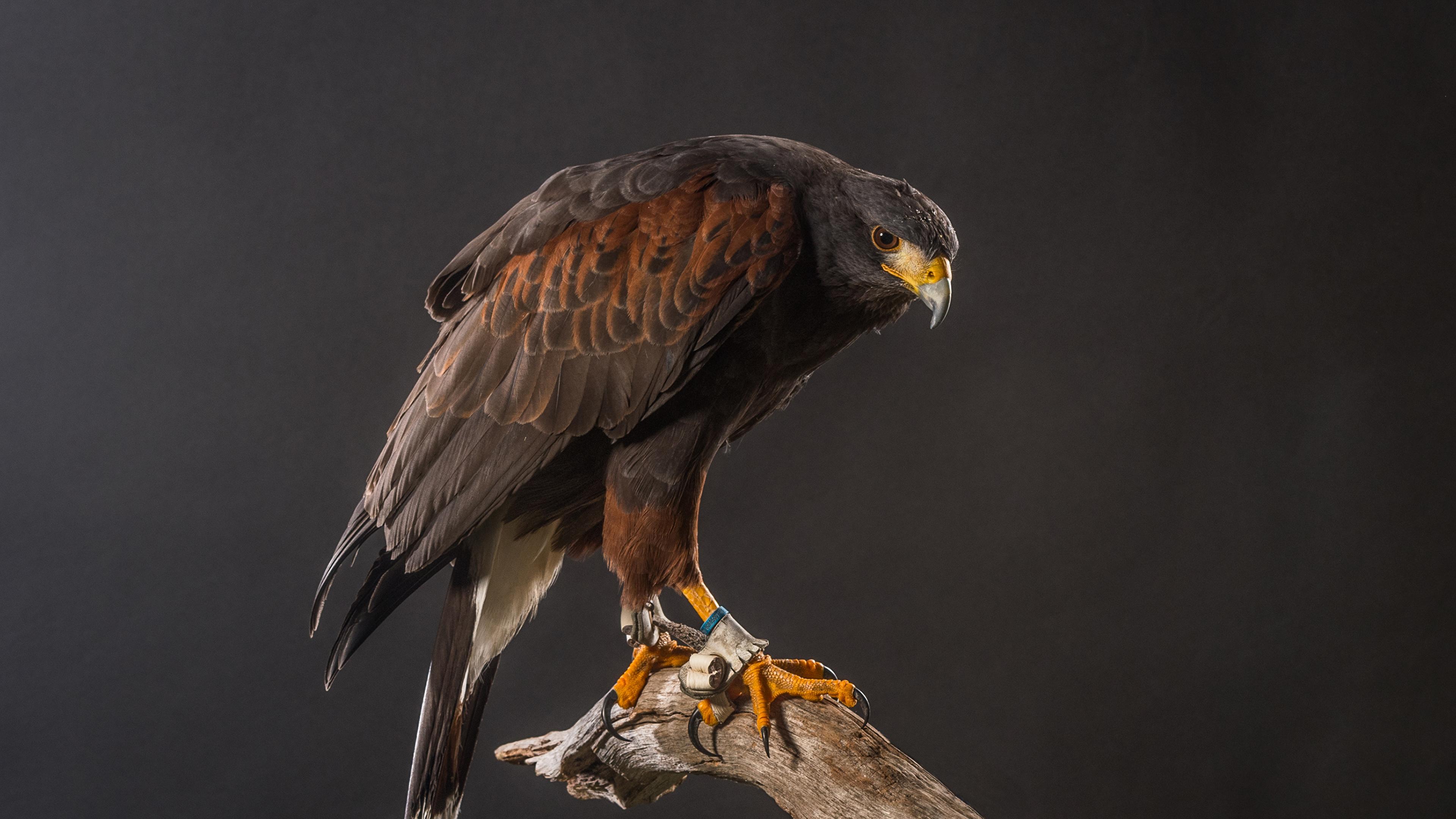 ястреб hawk  № 20920 без смс