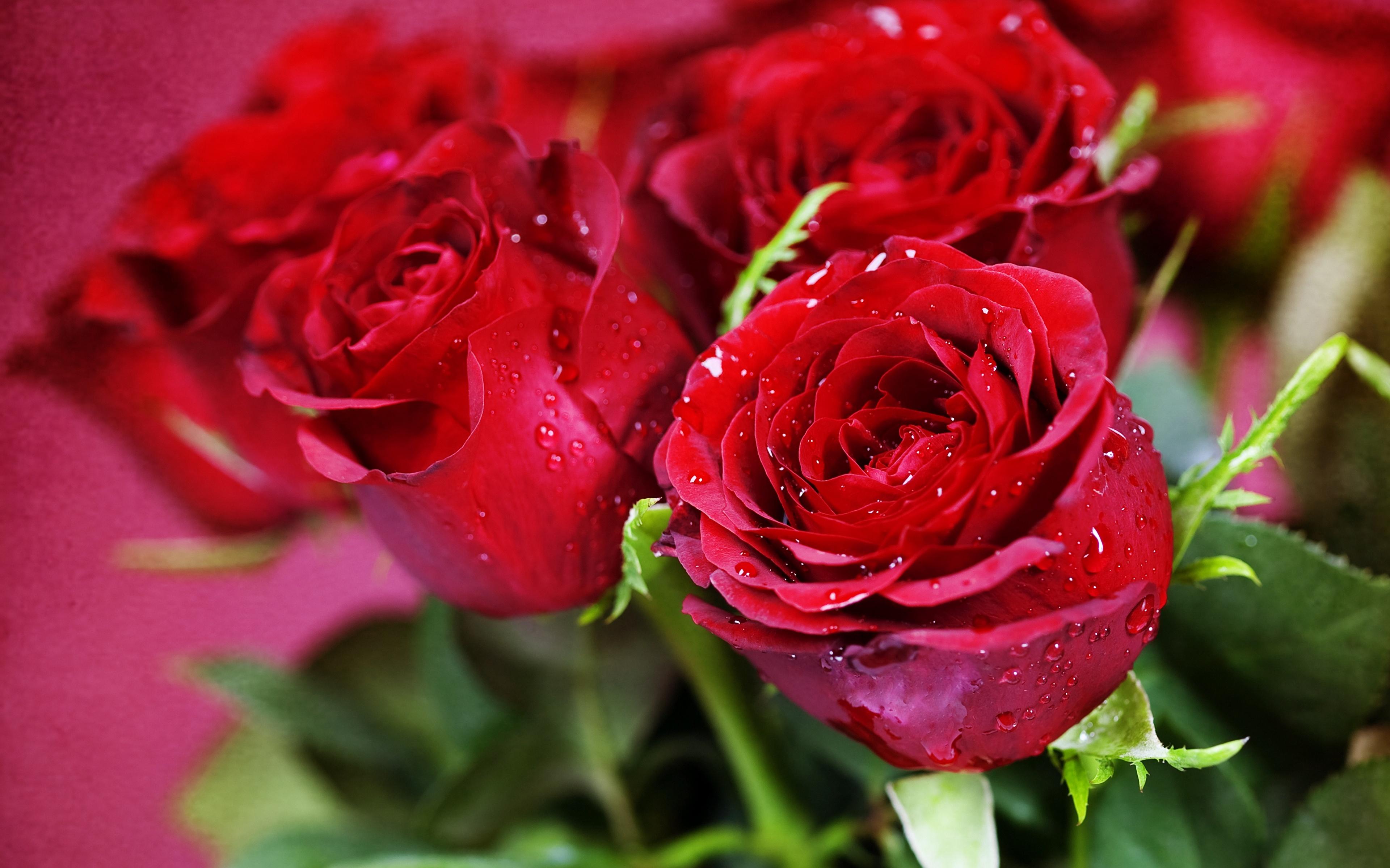 обои на рабочий стол самые красивые розы для тебя № 164789 загрузить