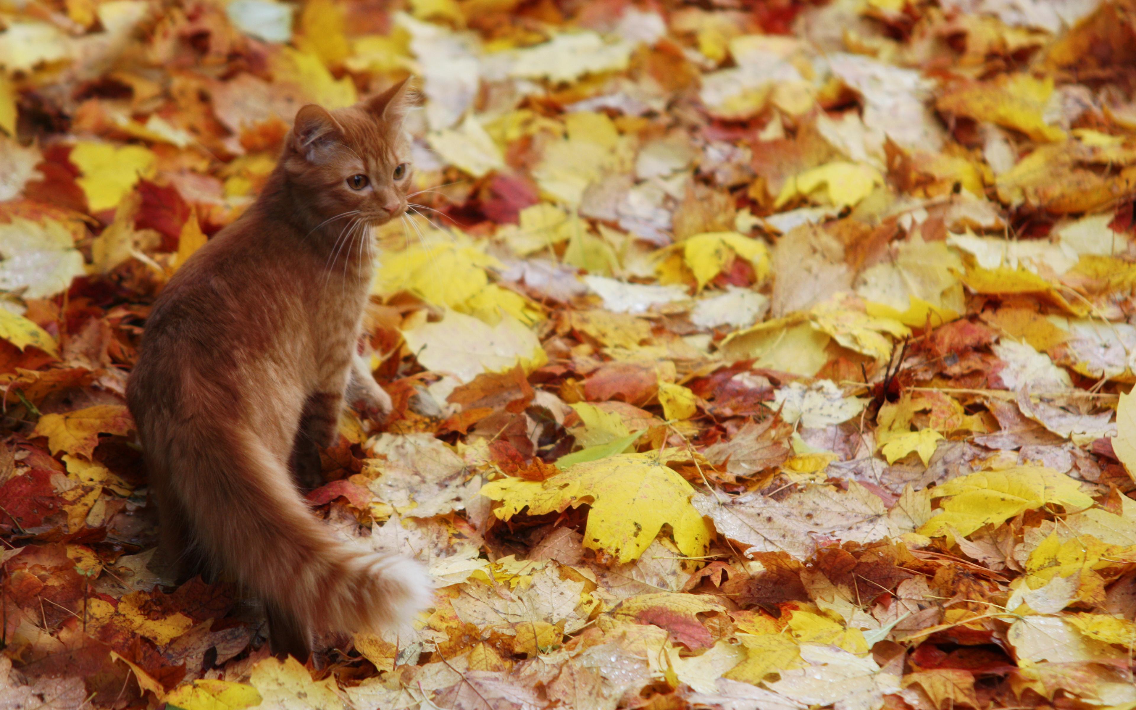 кошка осень листва  № 3898459 бесплатно