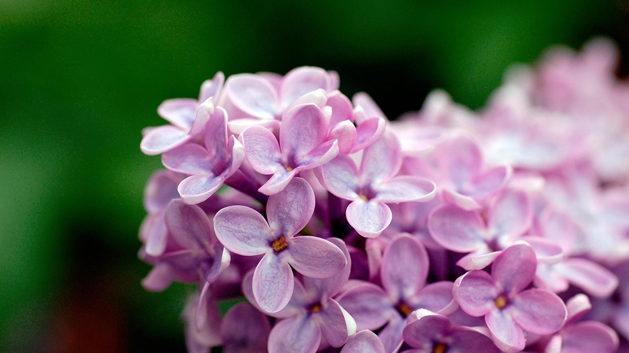 цветы природа сирень  № 2224188 без смс