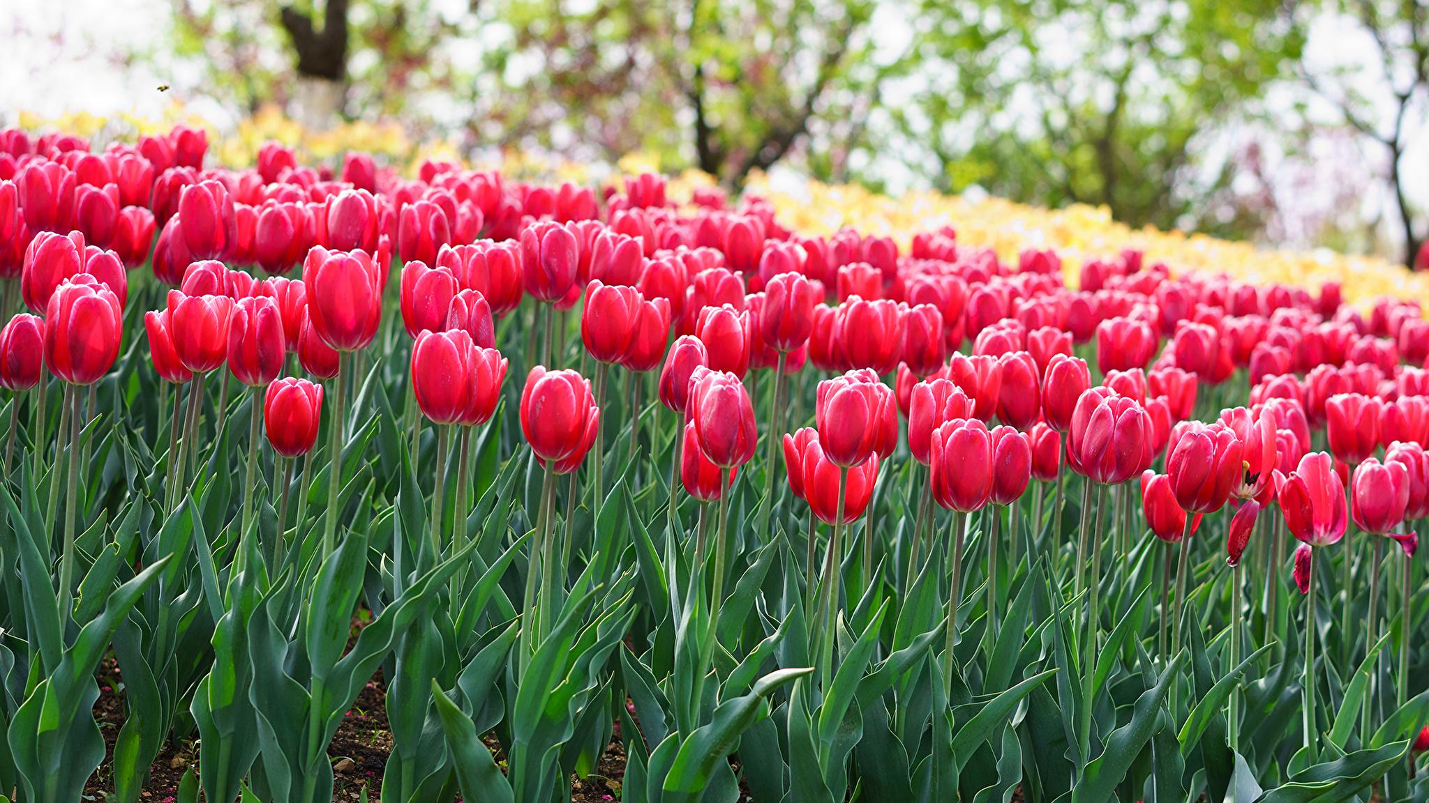 тюльпаны клумба  № 1349316 бесплатно
