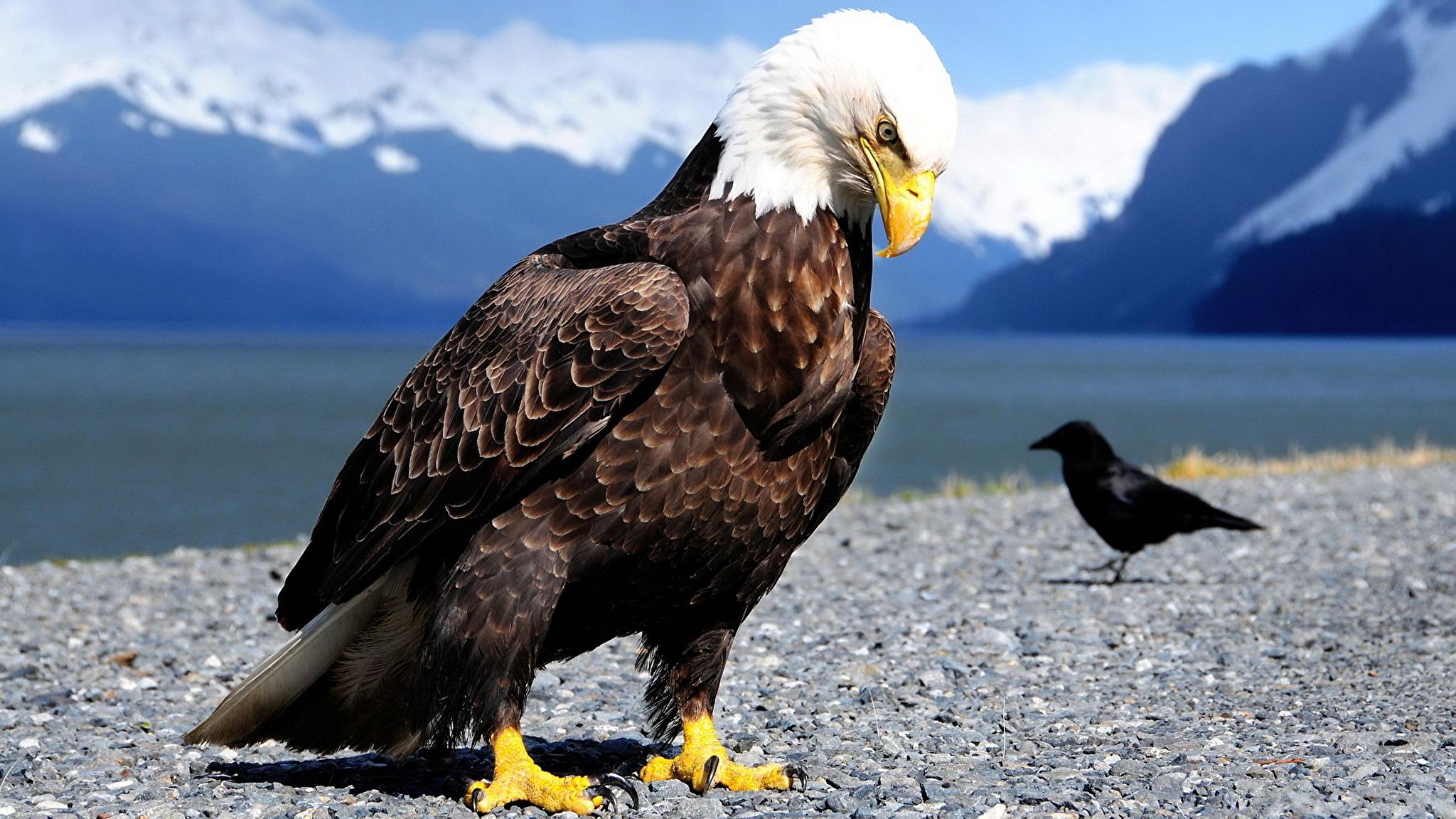 природа животные птица сокол nature animals bird Falcon  № 2993219 бесплатно
