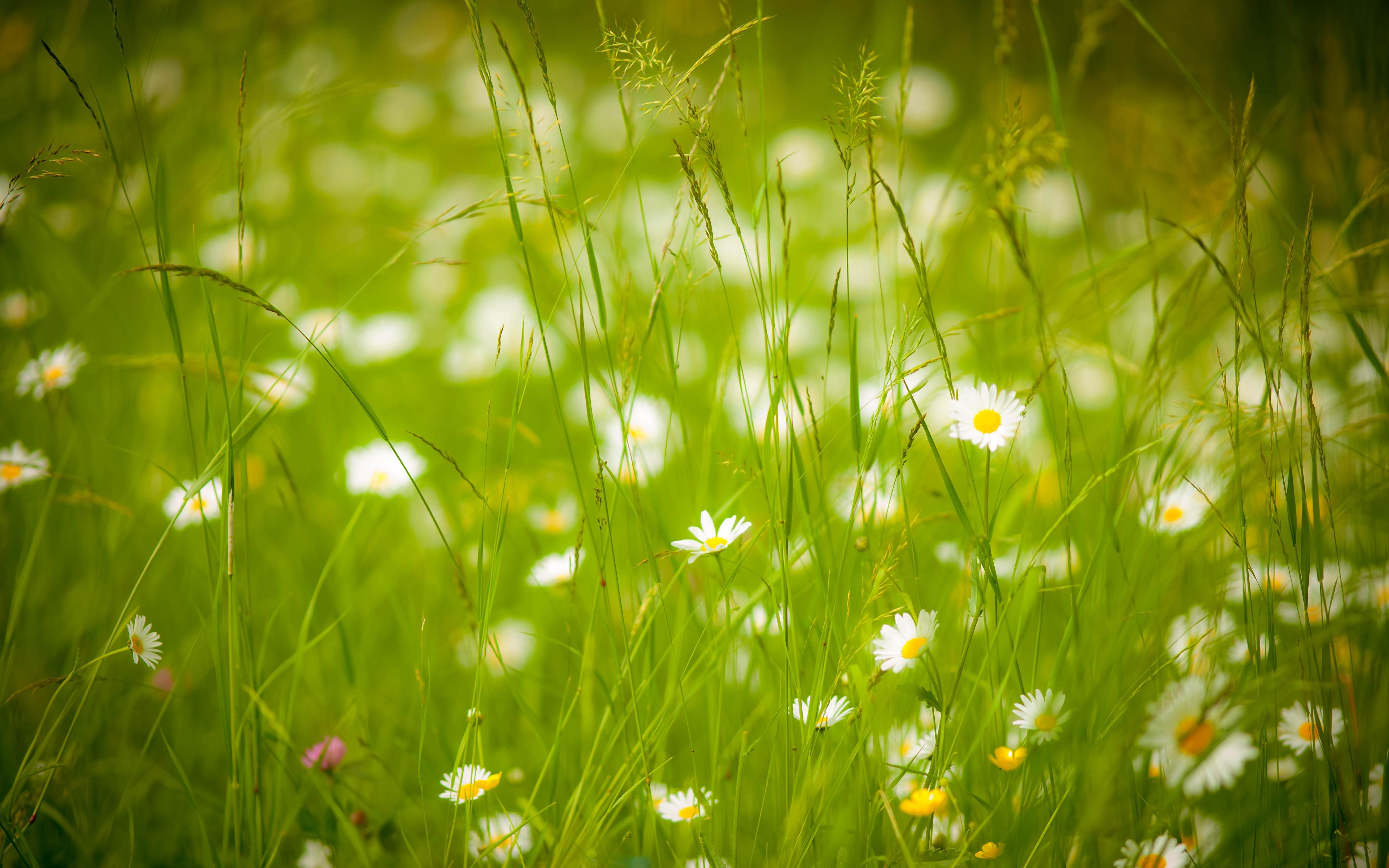 ромашки трава chamomile grass  № 3837867 загрузить