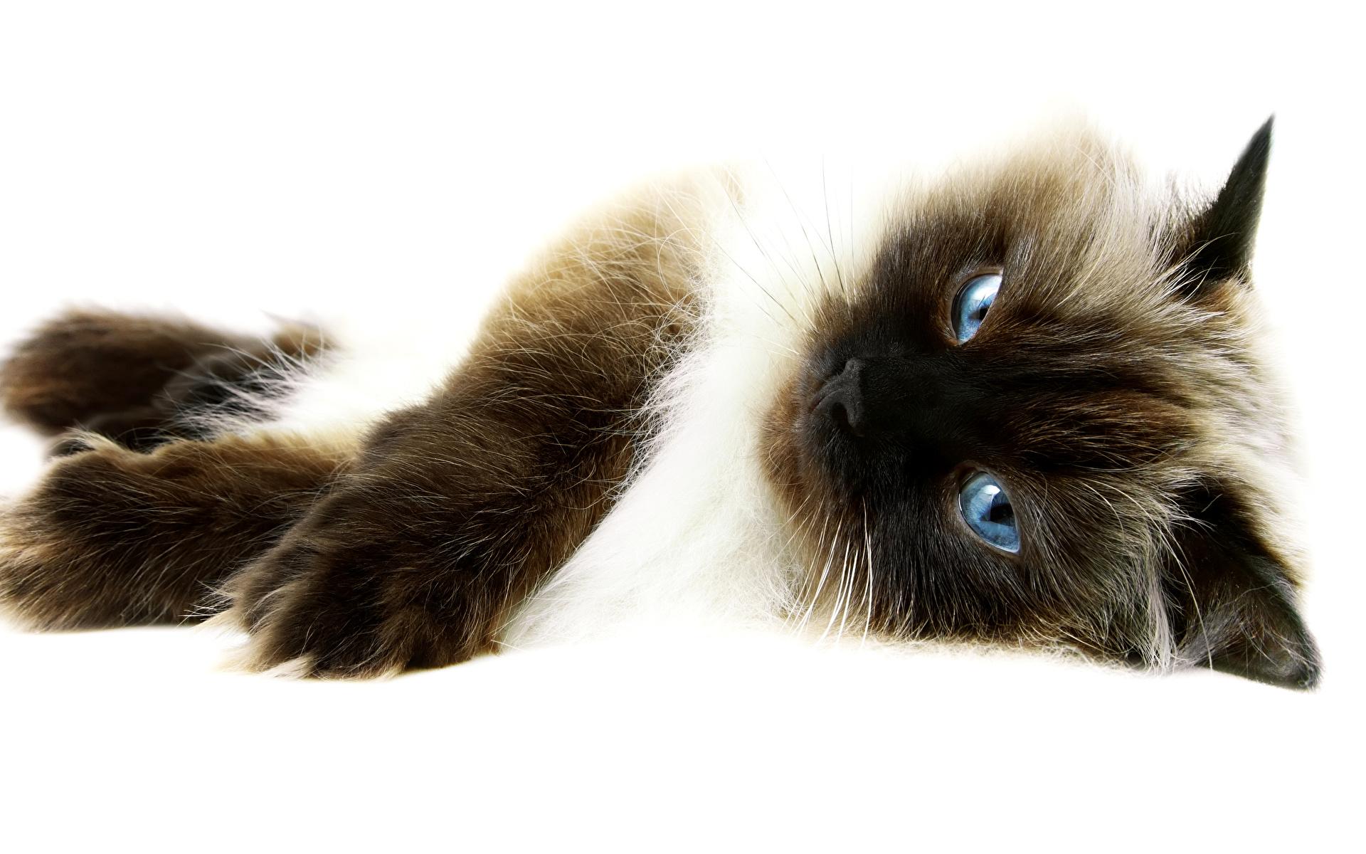Сеамский кот  № 171593  скачать