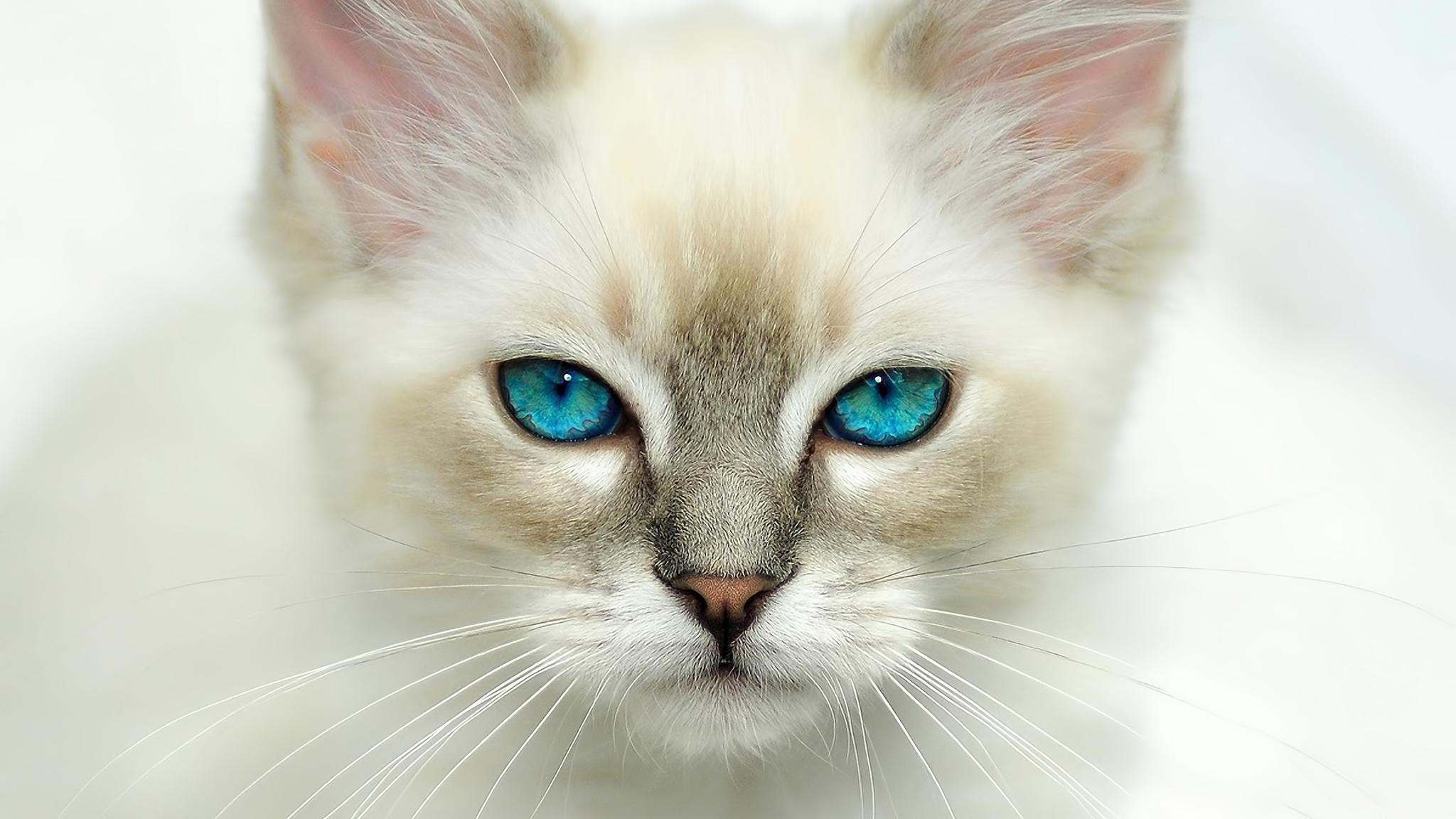 Голубоглазые кота  № 3010638  скачать