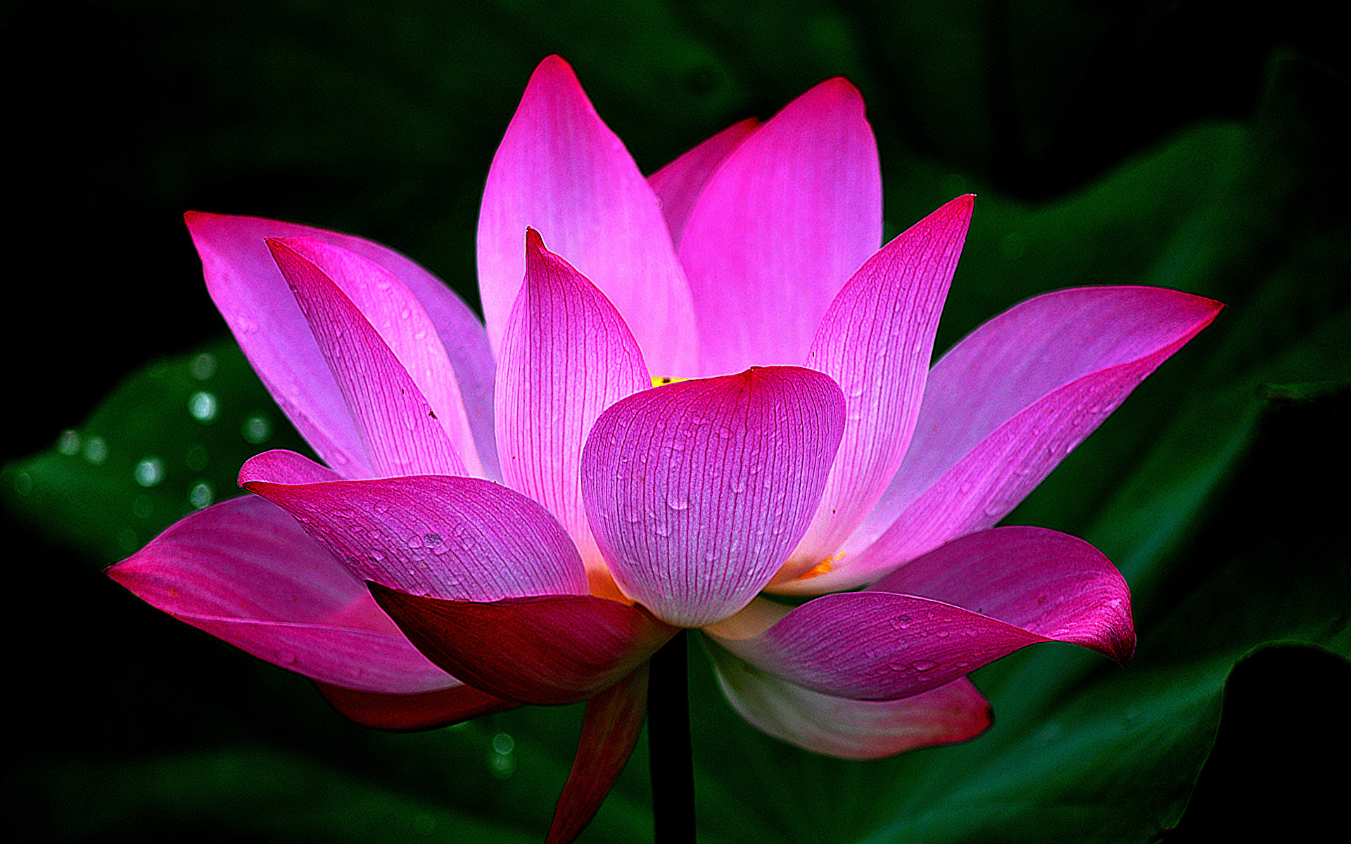 Translation of Lotus flower in English  Babylon