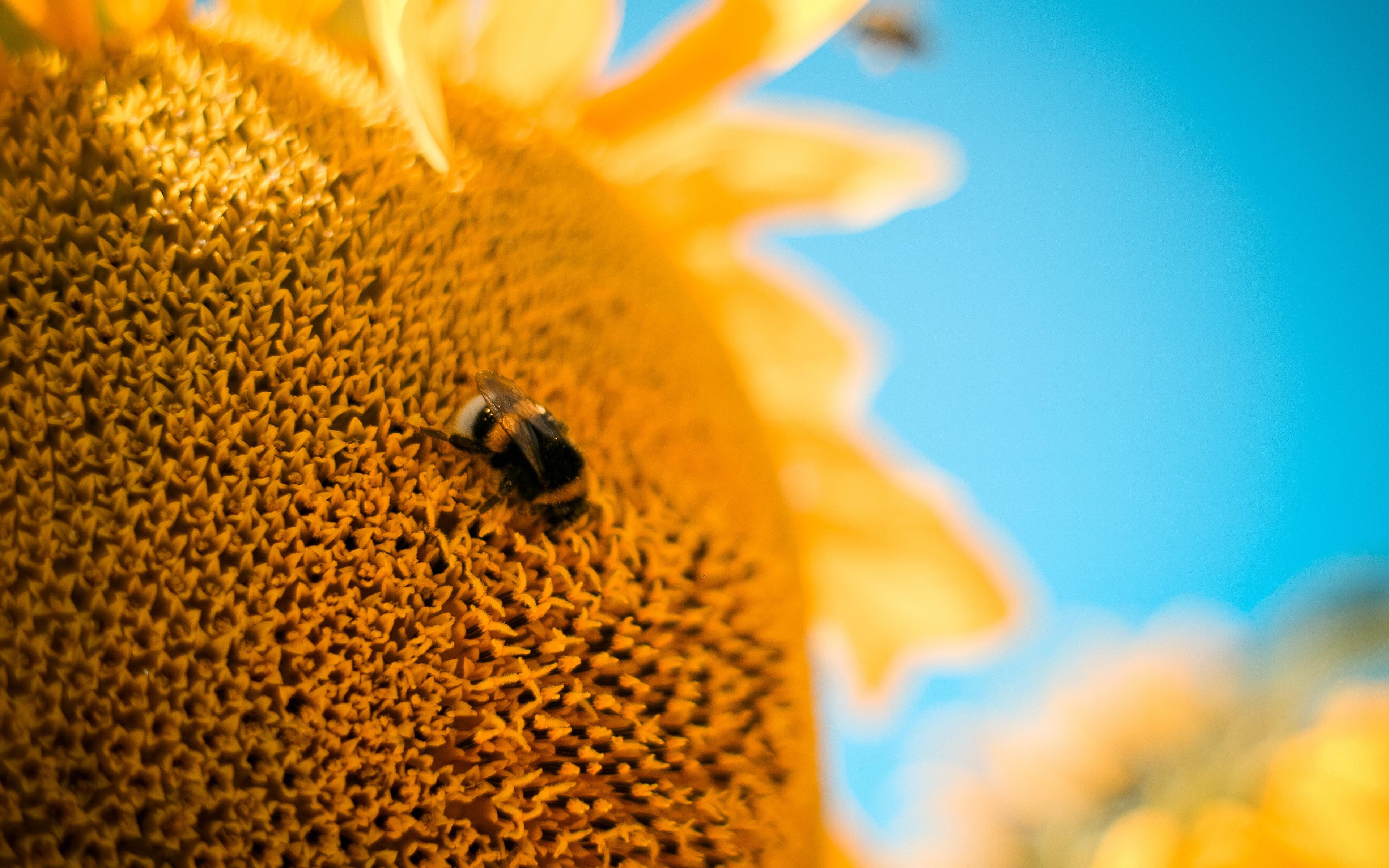 Пчела на подсолнухе  № 657671 бесплатно