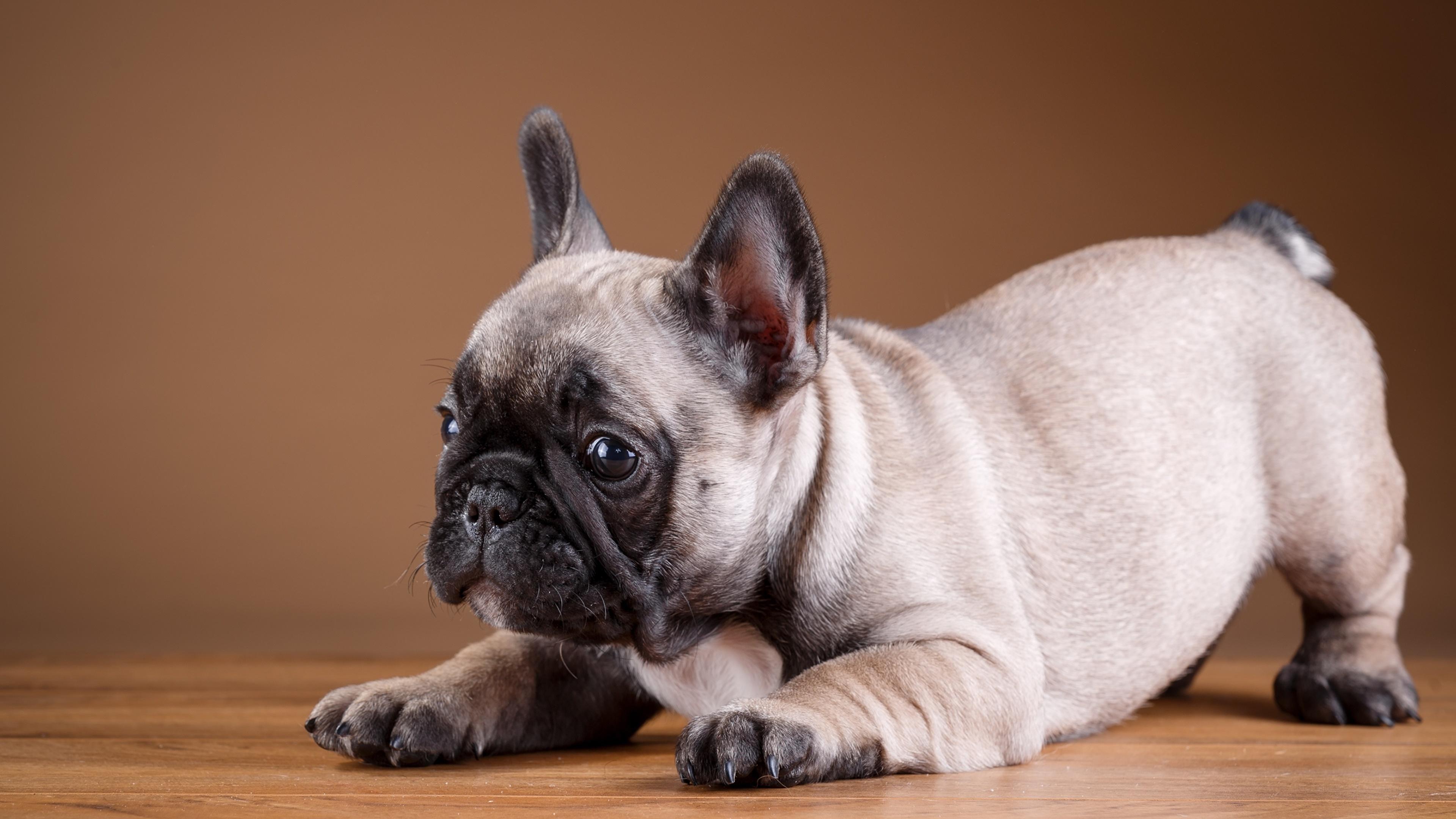 Собака животное французский бульдог  № 2228191 без смс