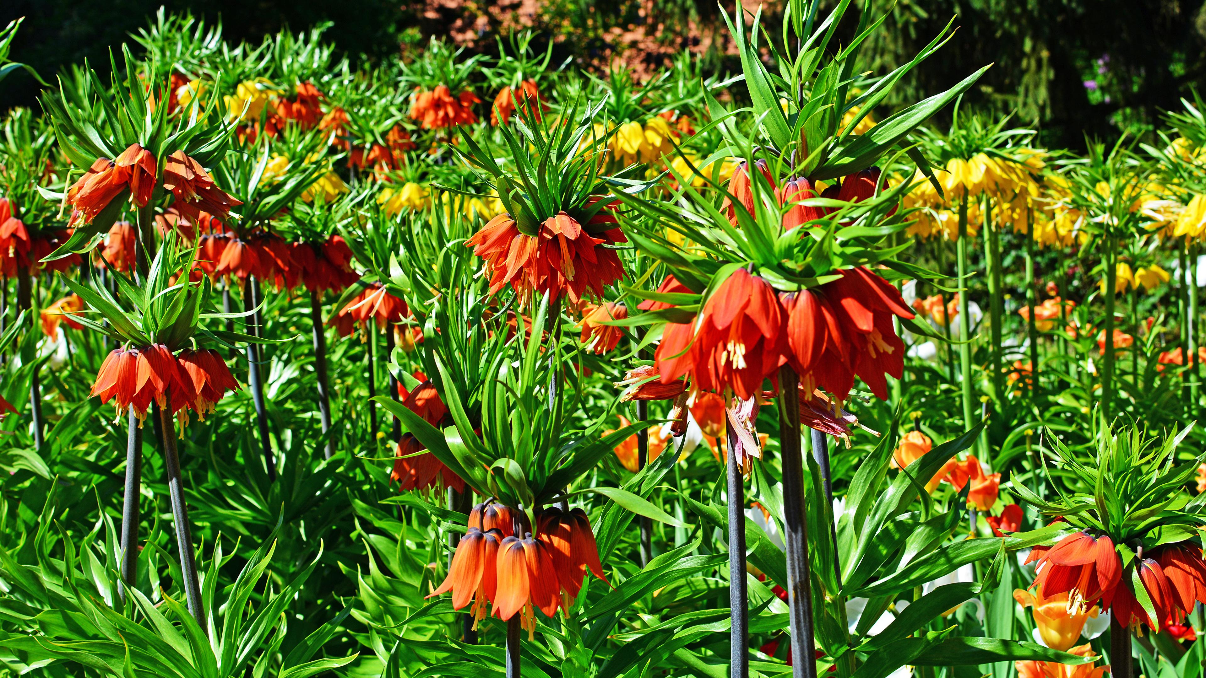Цветок рябчик фото описание уход