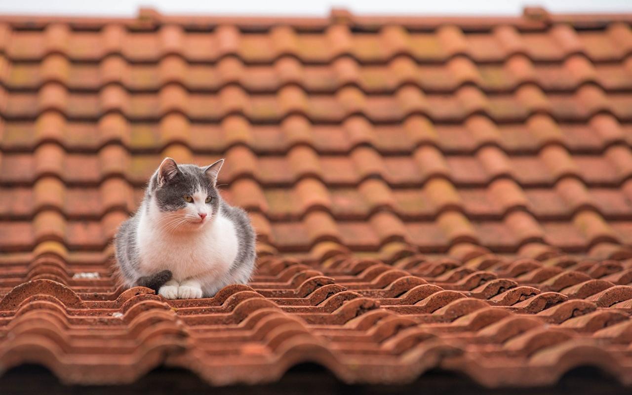 Обои на рабочий стол кот крыша
