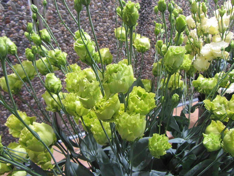 Эустома многолетняя посадка и уход, фото цветов 30