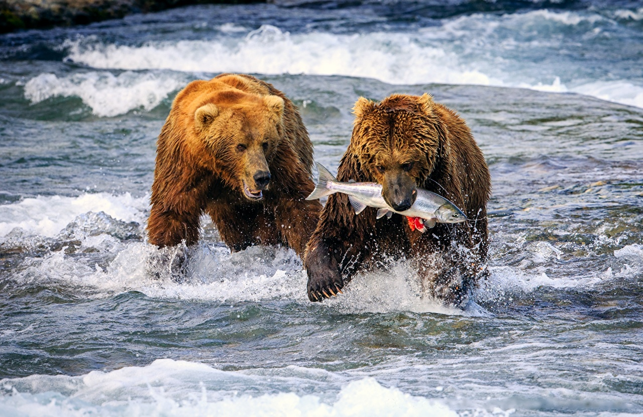 Bears fishing in Alaska - reminds me of the pictures of the fisherman Pictures of bears fishing