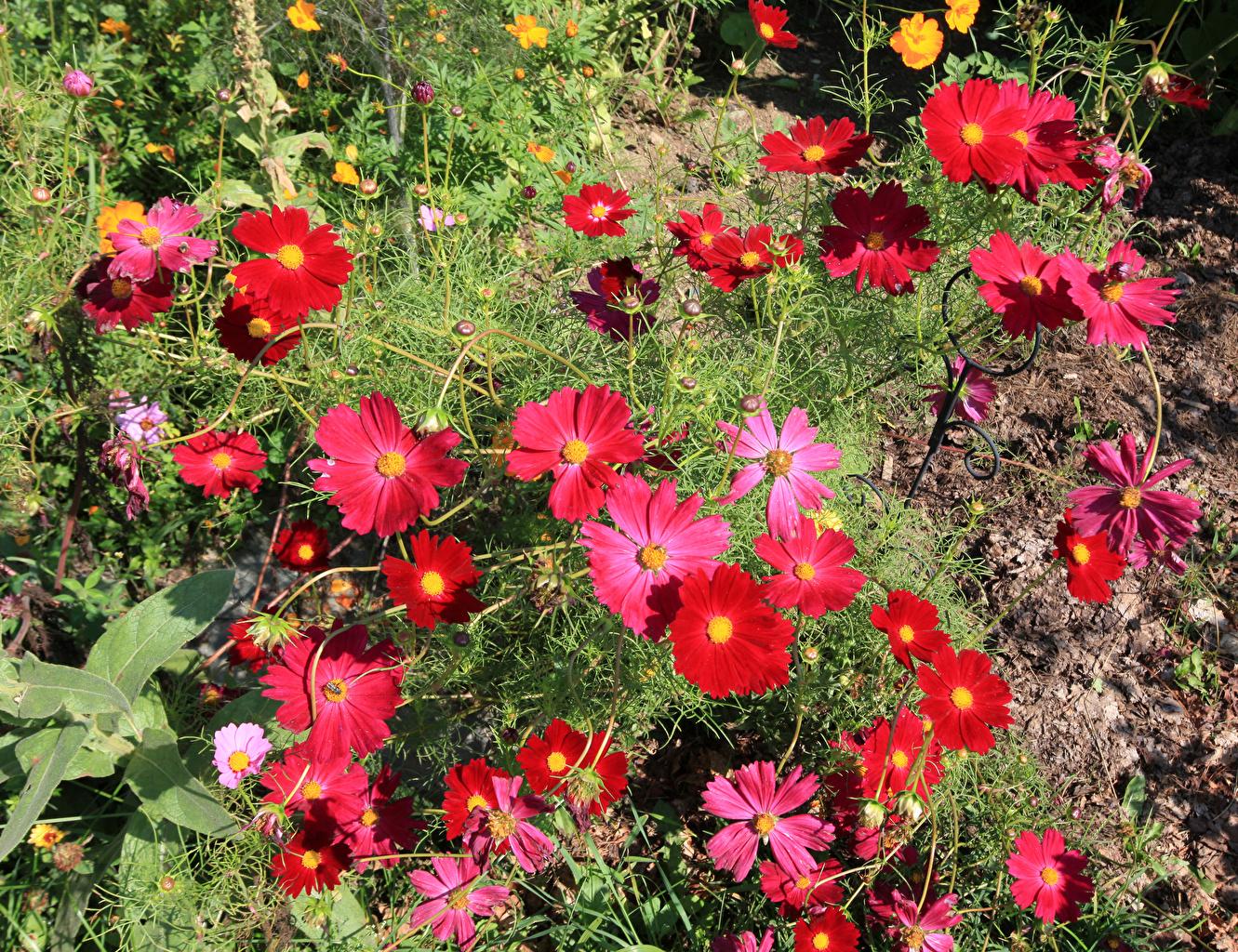 Космея, или Космос цветок: фото, выращивание и уход 25