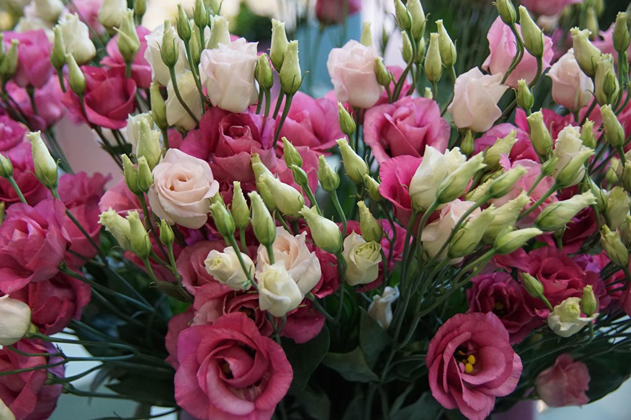 обои для рабочего стола цветы эустома № 631837 без смс
