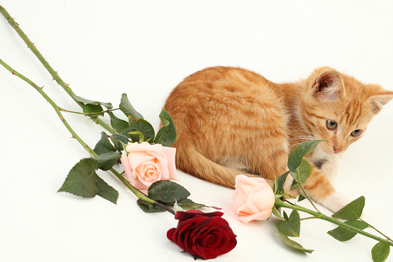 Обои для рабочего стола кошки розы