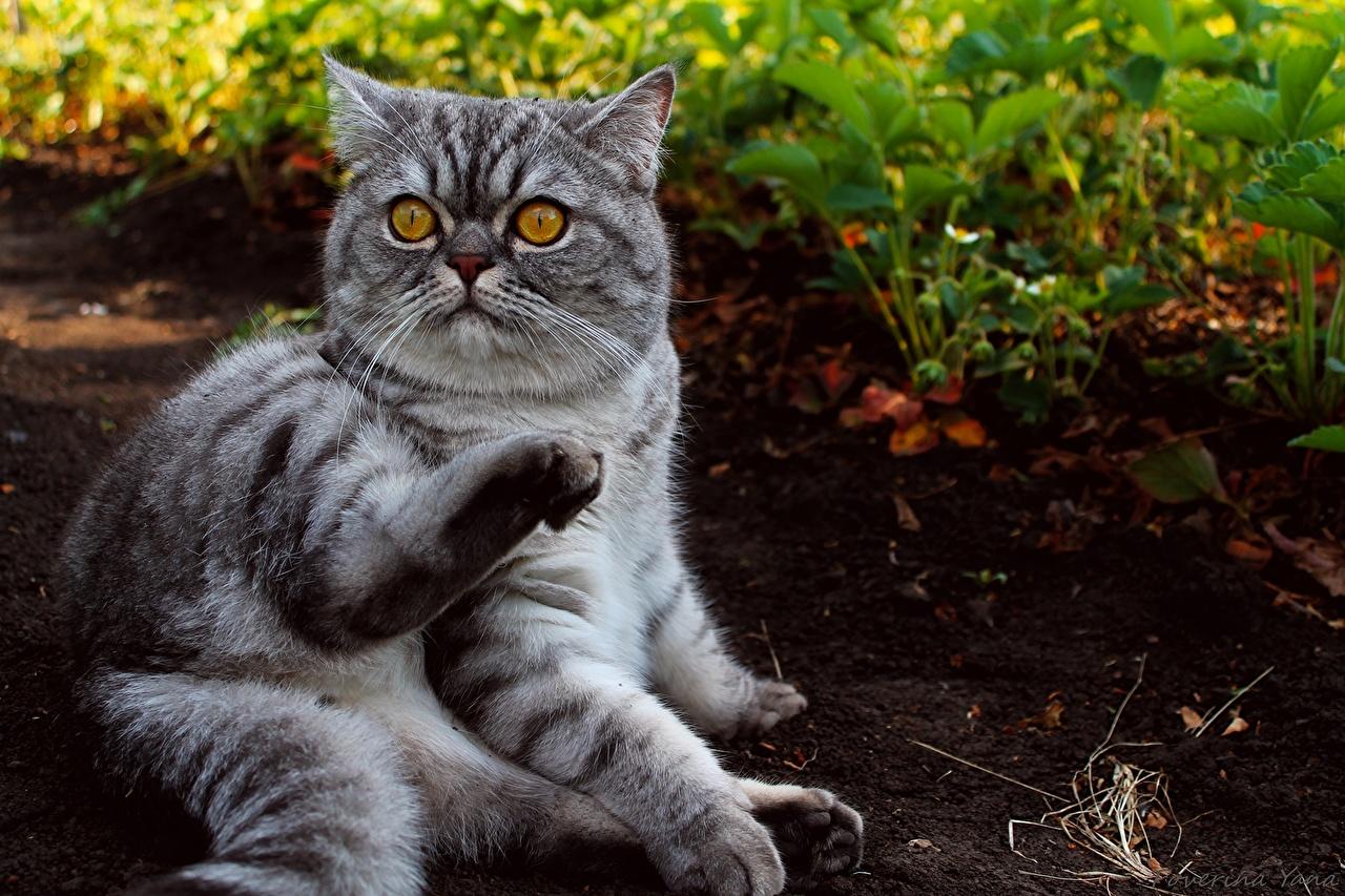 Кошки британская кошка животные