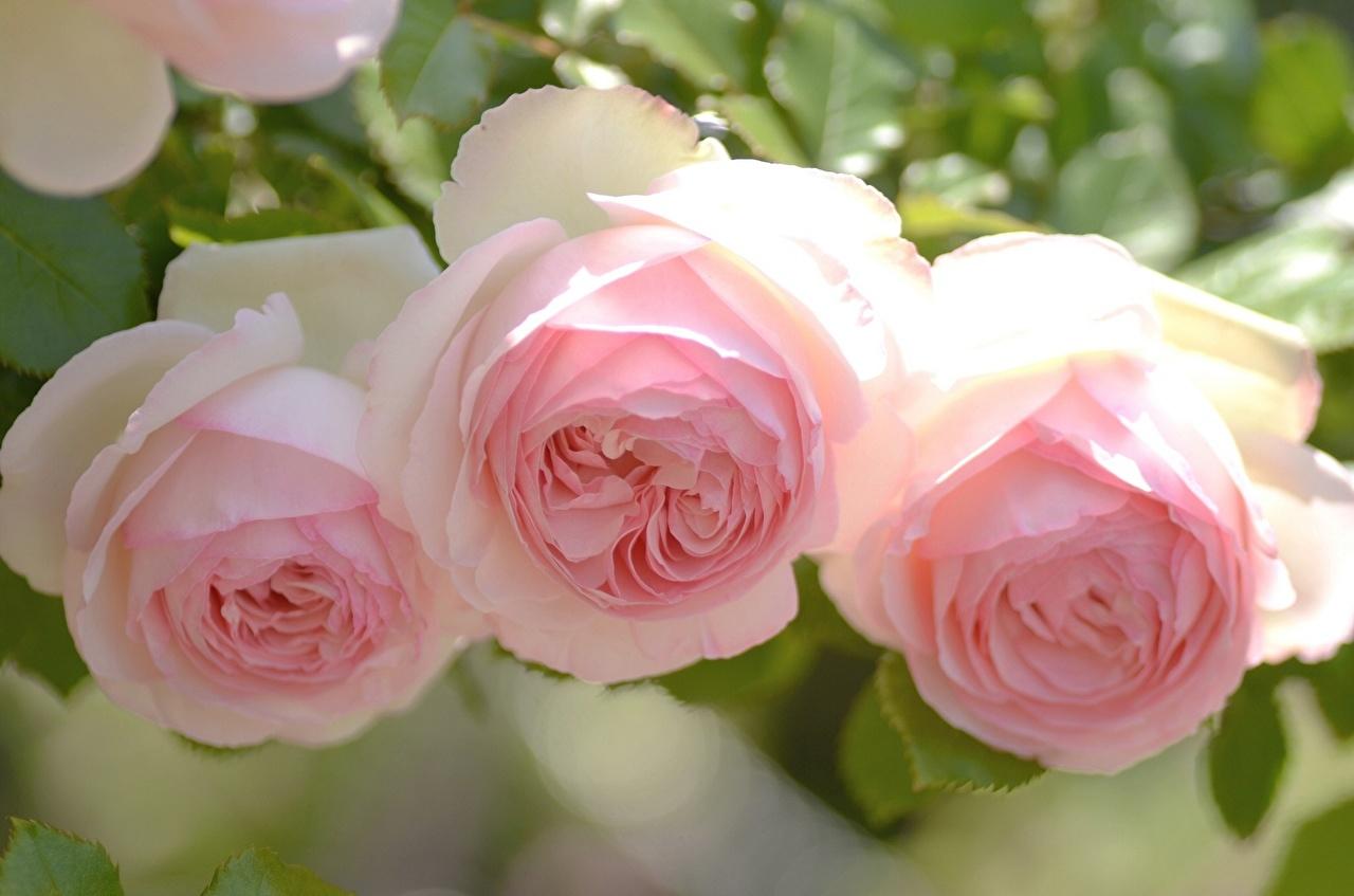 Розы Розовый Цветы