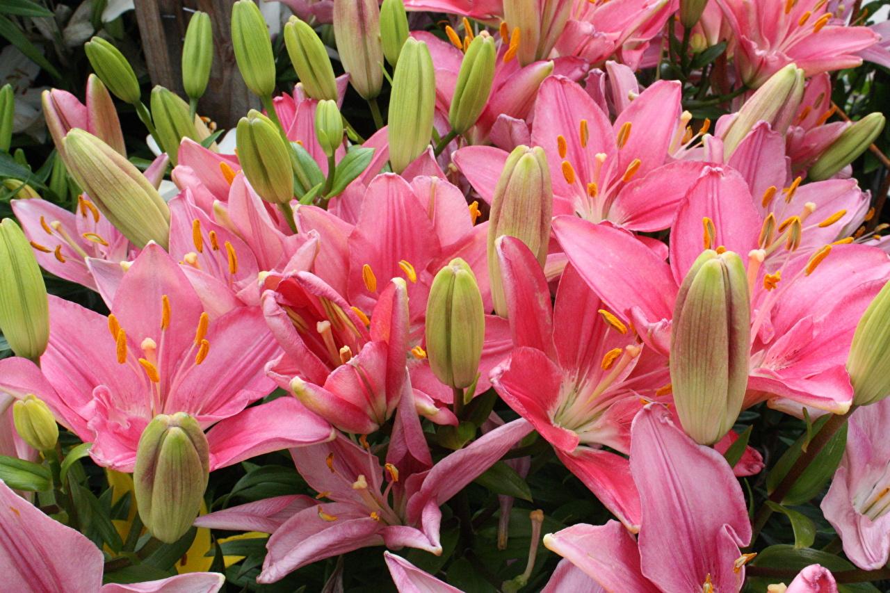 Лилии Розовый Бутон Цветы