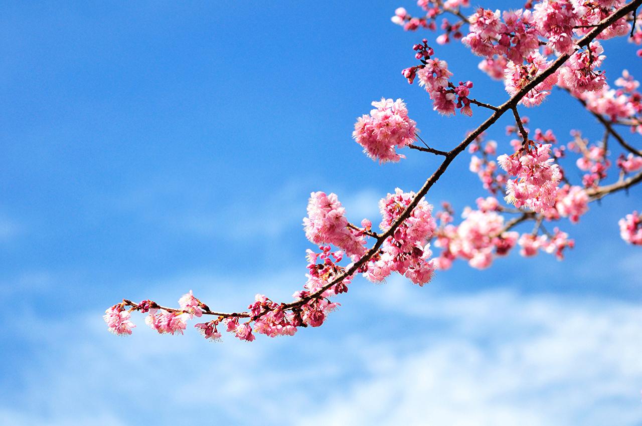 1000 Interesting Cherry Blossom Photos  Pexels  Free