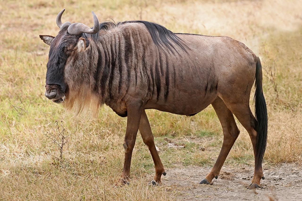 moose  Wiktionary