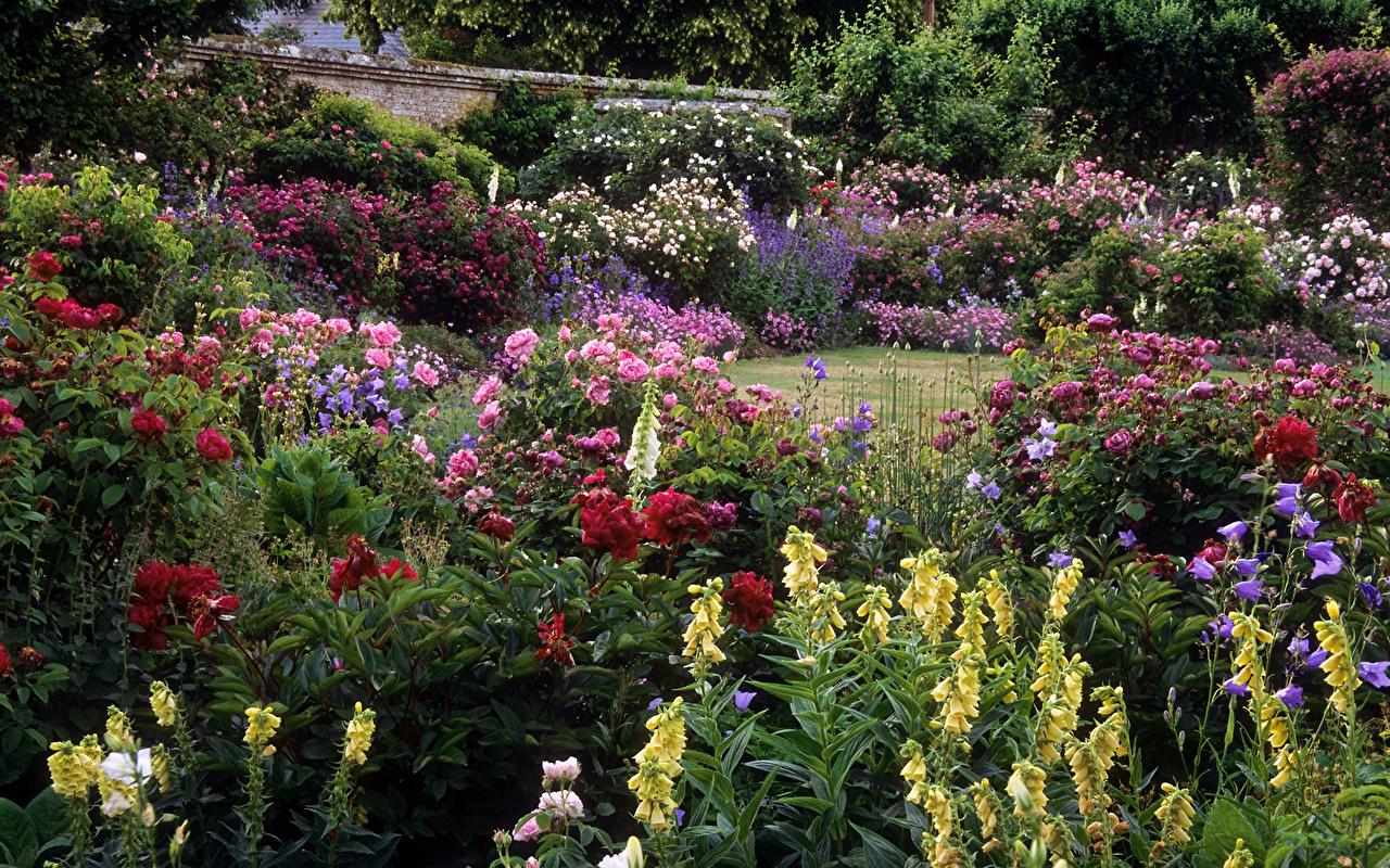 Фото цветы розы в саду