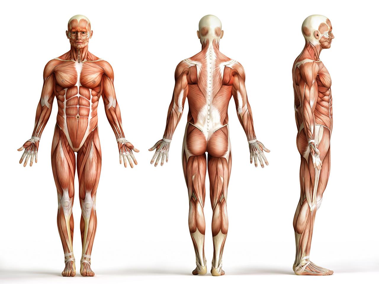 Bear muscle anatomy