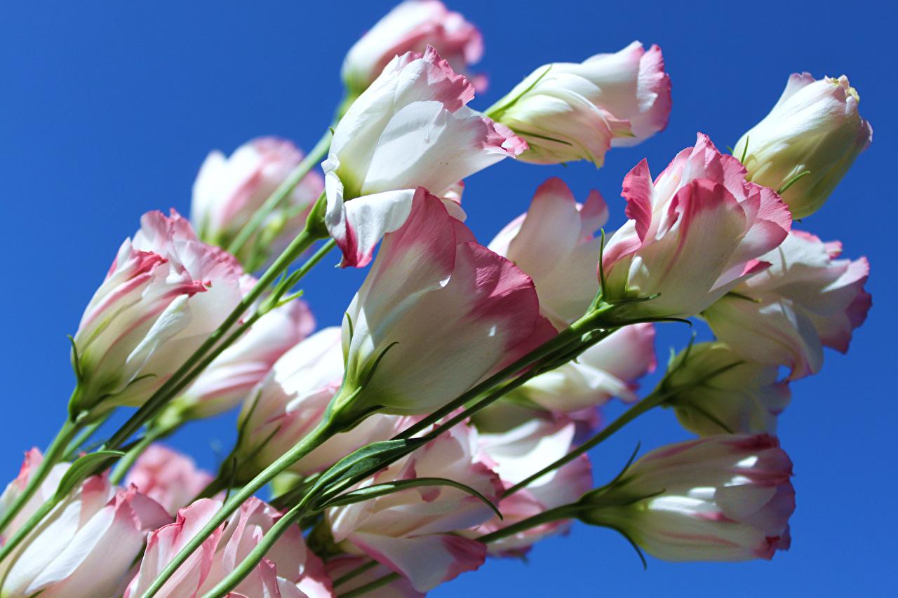 обои для рабочего стола эустома цветы № 634094 без смс