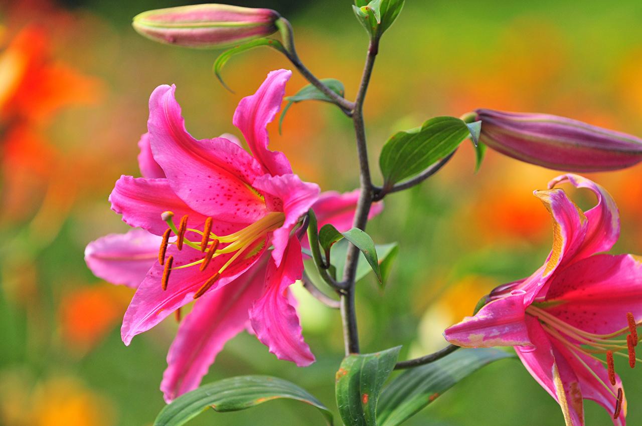 Цветы для рабочего стола-лилии