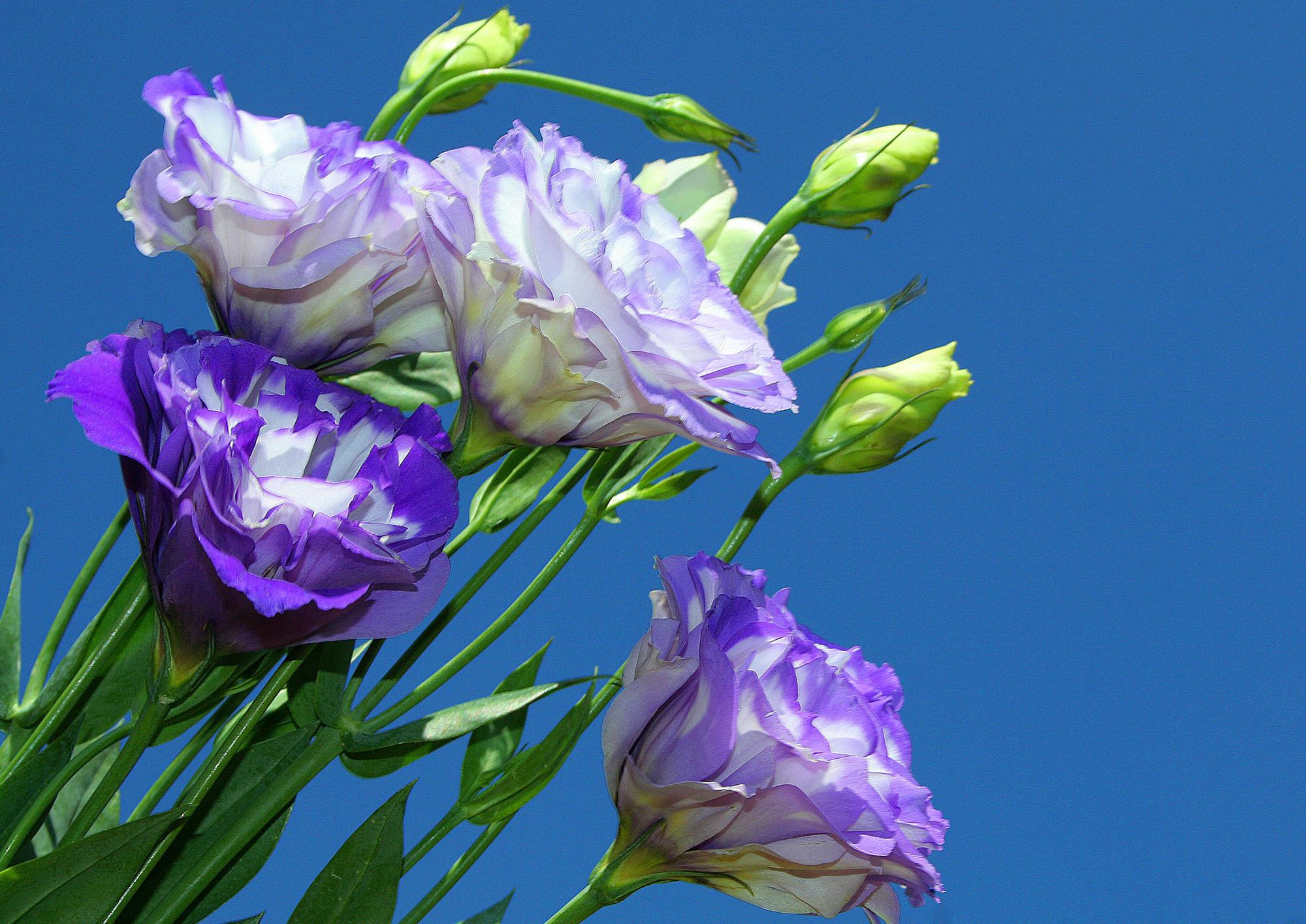 обои для рабочего стола эустома цветы № 634118 бесплатно