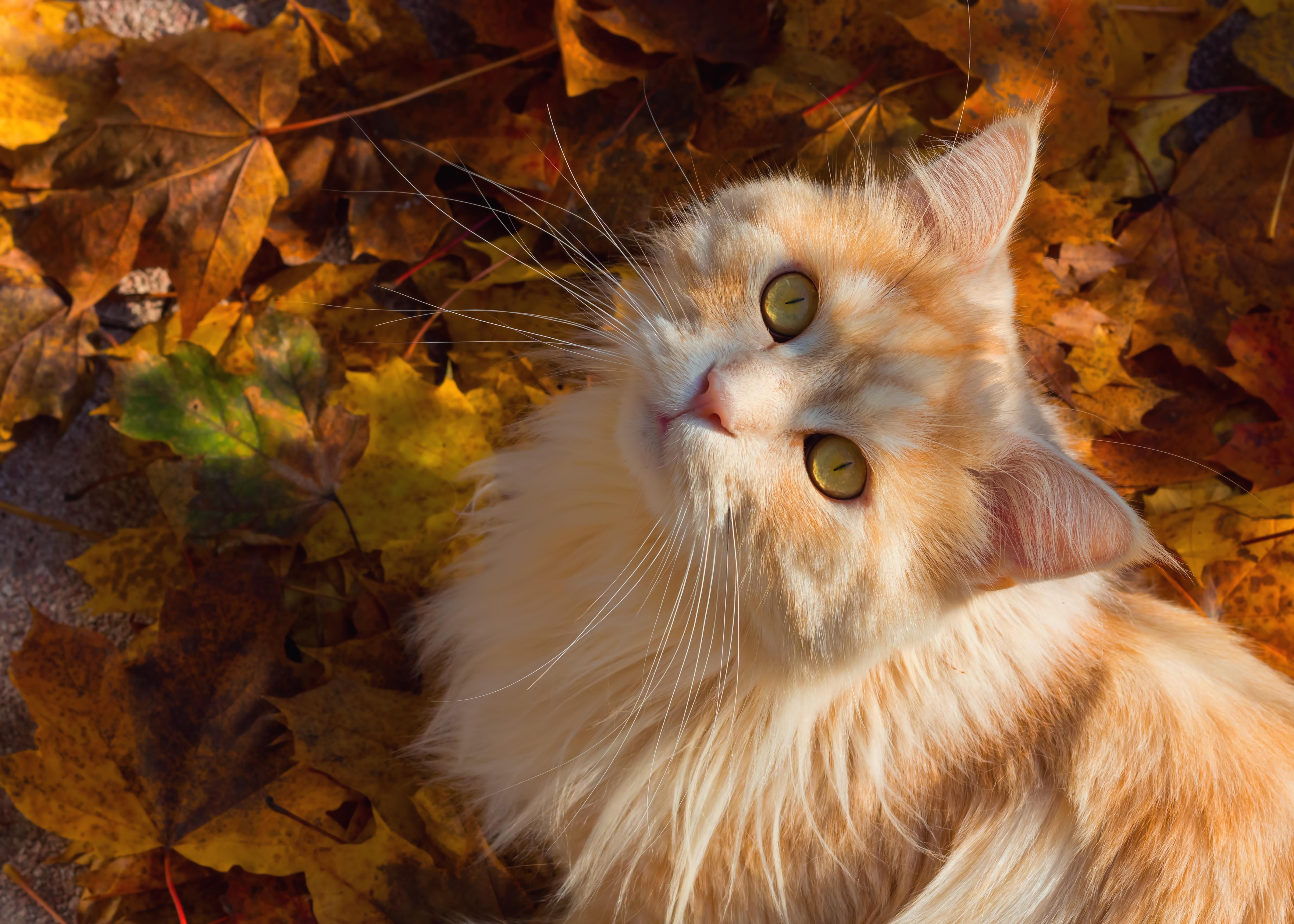 кошка осень листва  № 3898499  скачать