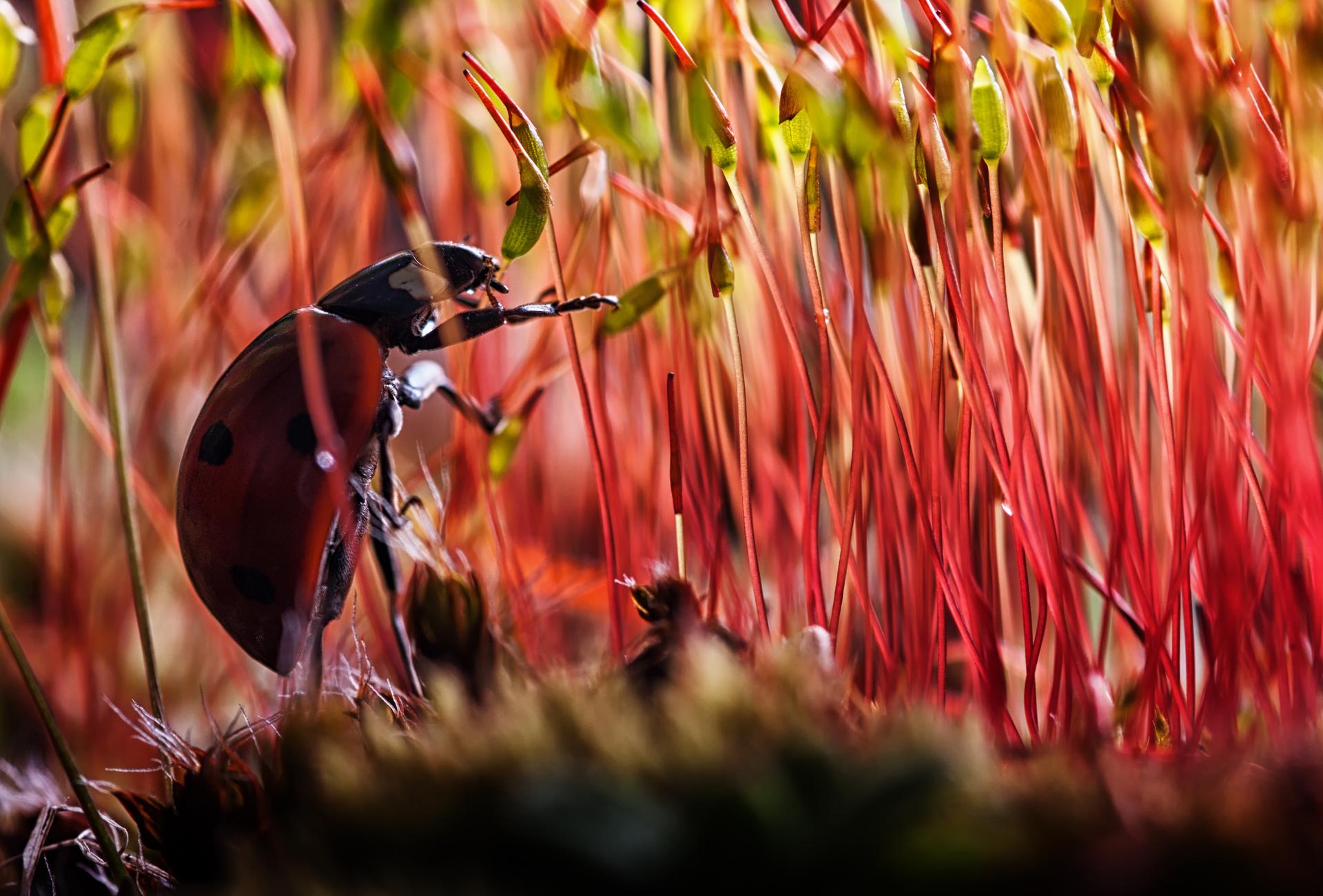 природа божья коровка цветок макро насекомое животное  № 3856372 без смс