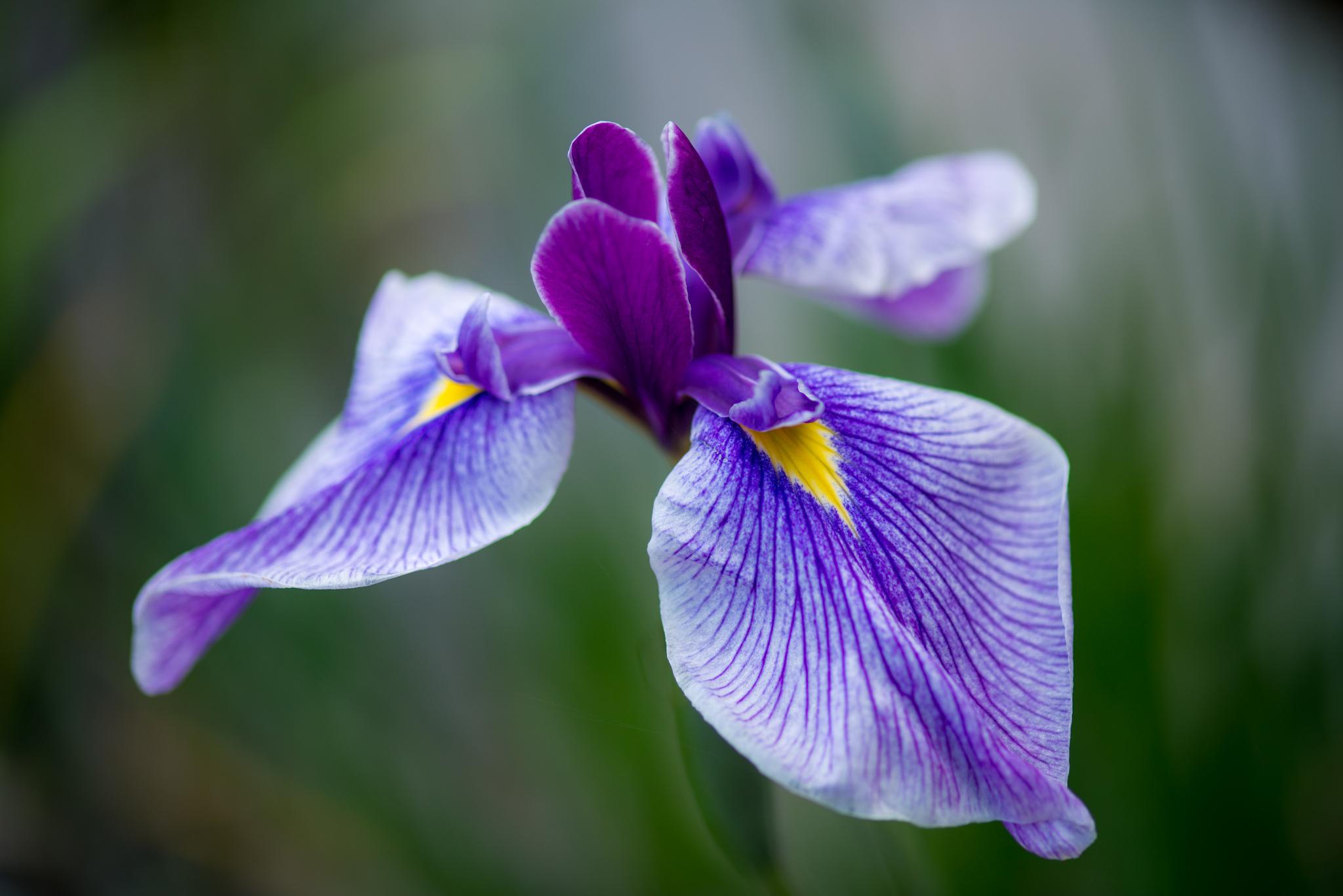 шмель,ирис,цветок,лето  № 529573 без смс