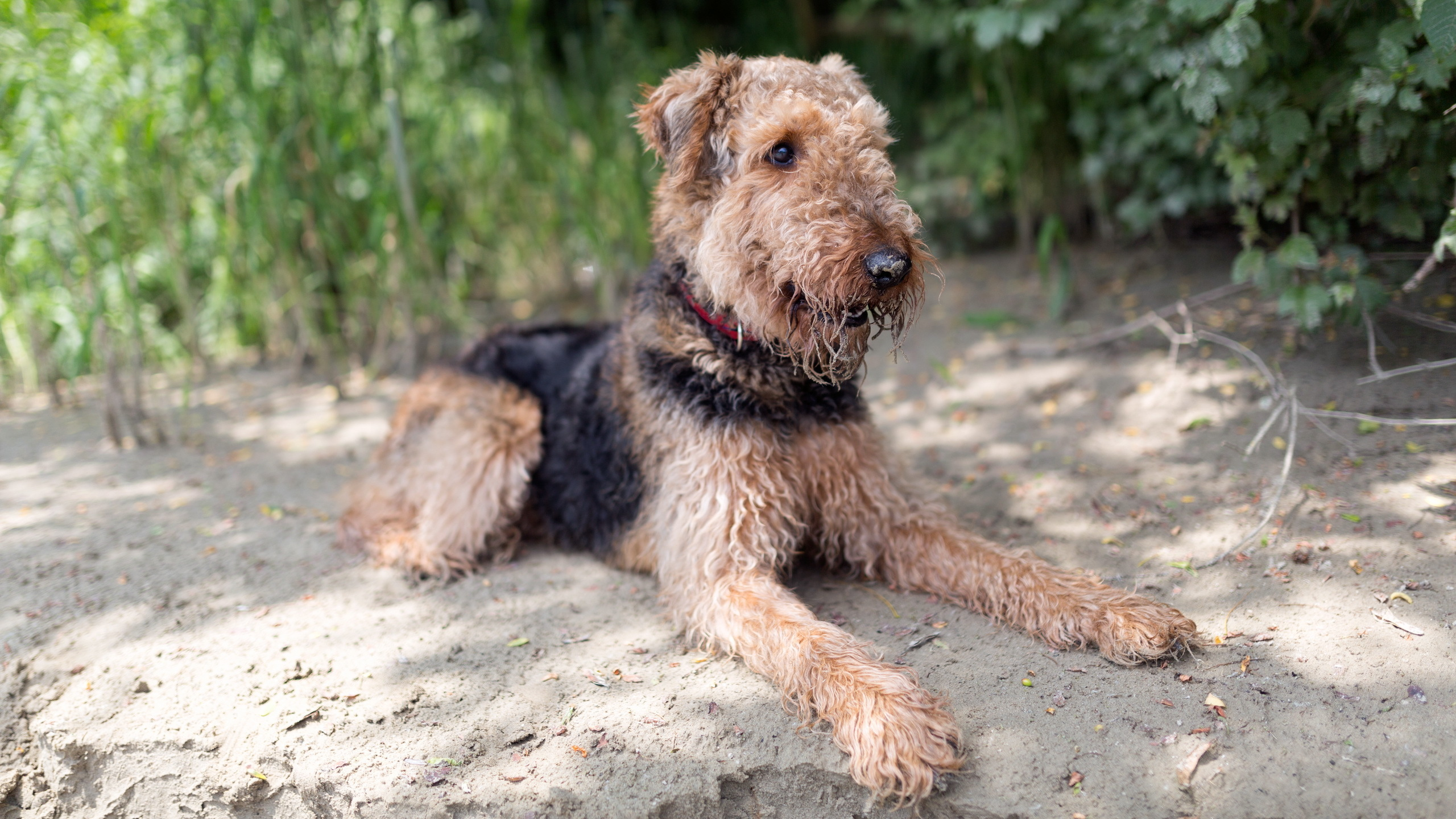 What does Airedale terrier mean definition meaning and