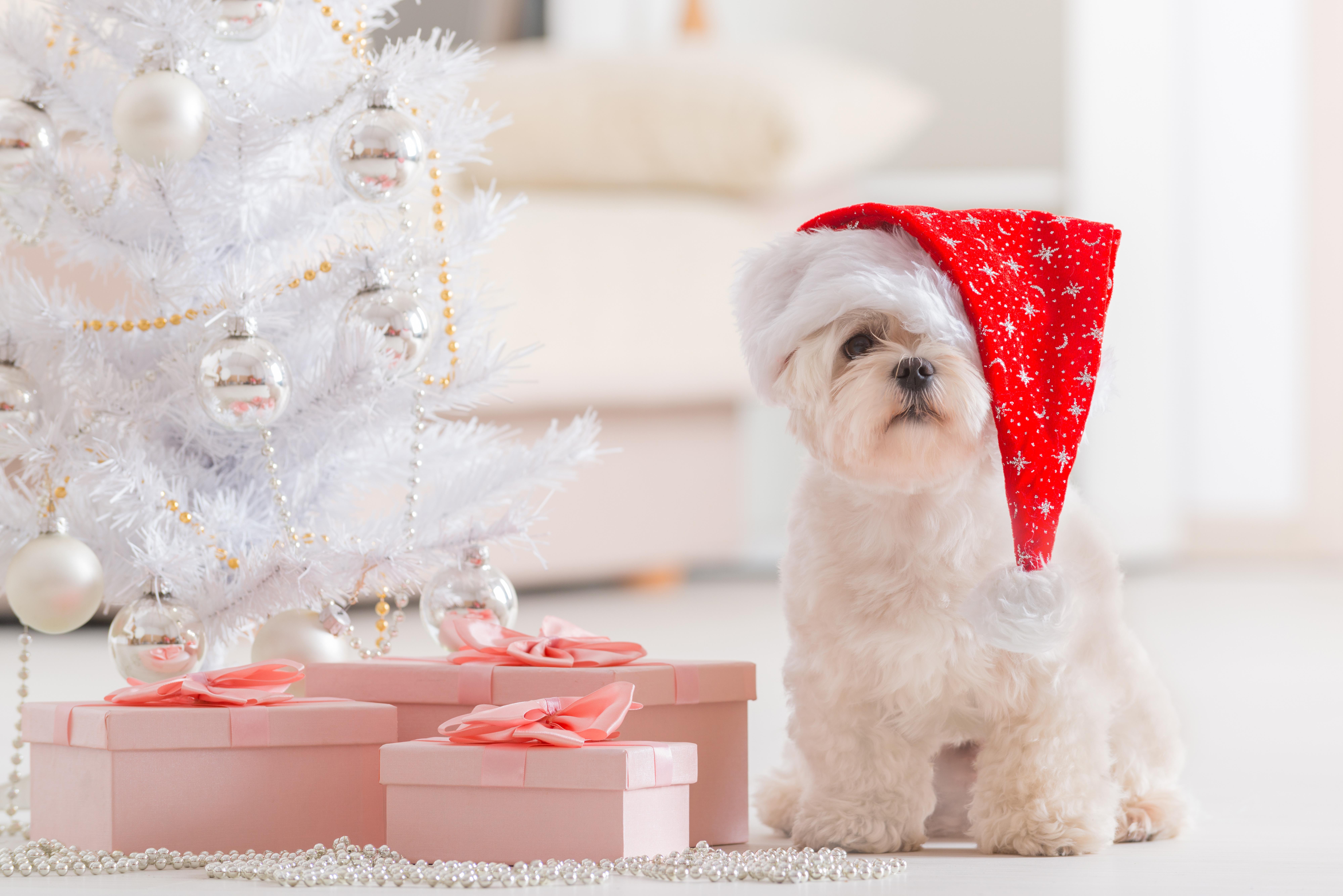 собачка в новогодней шапочке  № 1301894 бесплатно