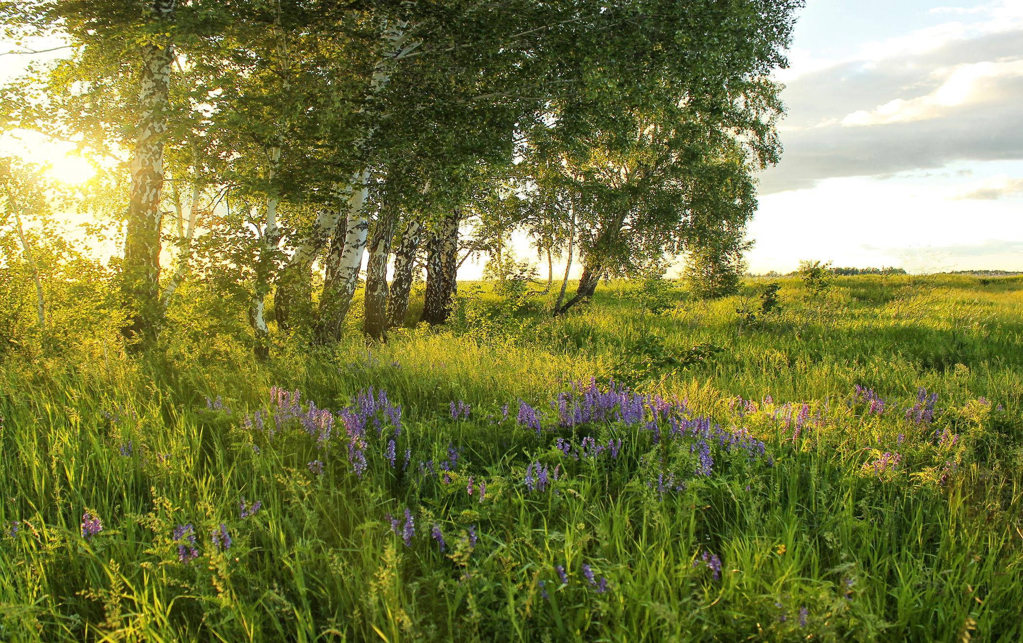 природа березы трава деревья закат nature birch grass trees sunset  № 1278503 без смс