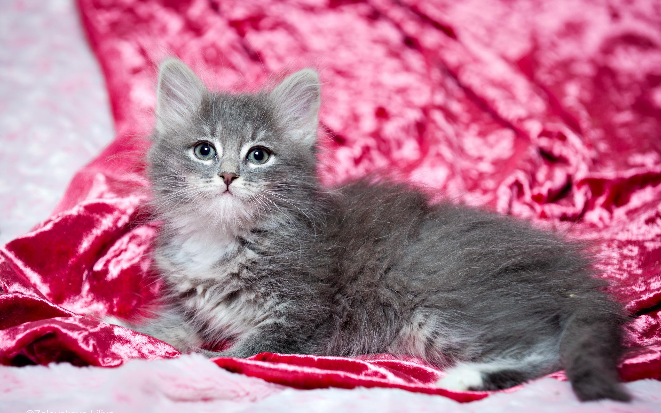 котенок дымчатый kitten smoky  № 2344478 загрузить