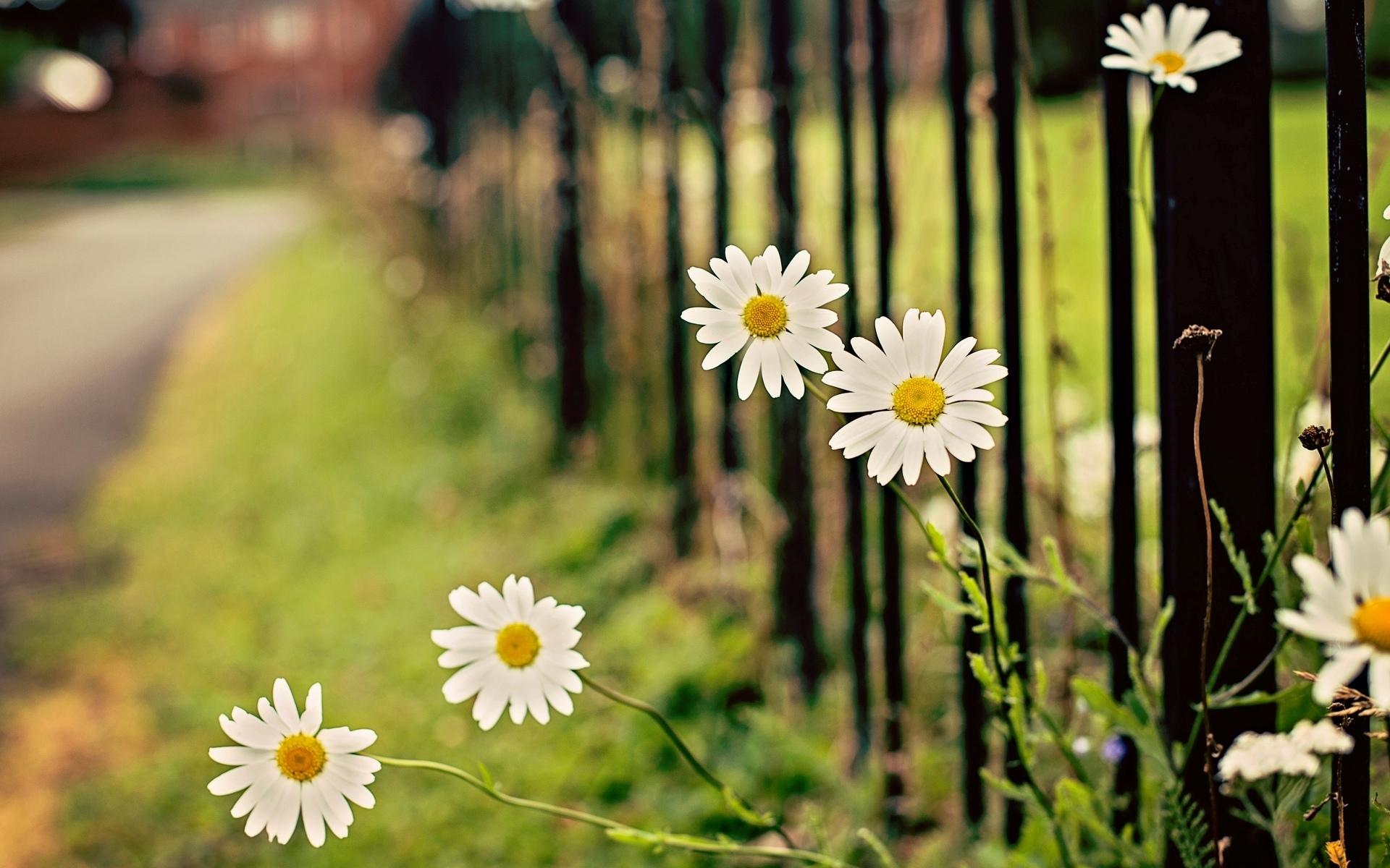 ромашка цветы фокус  № 1096427 без смс