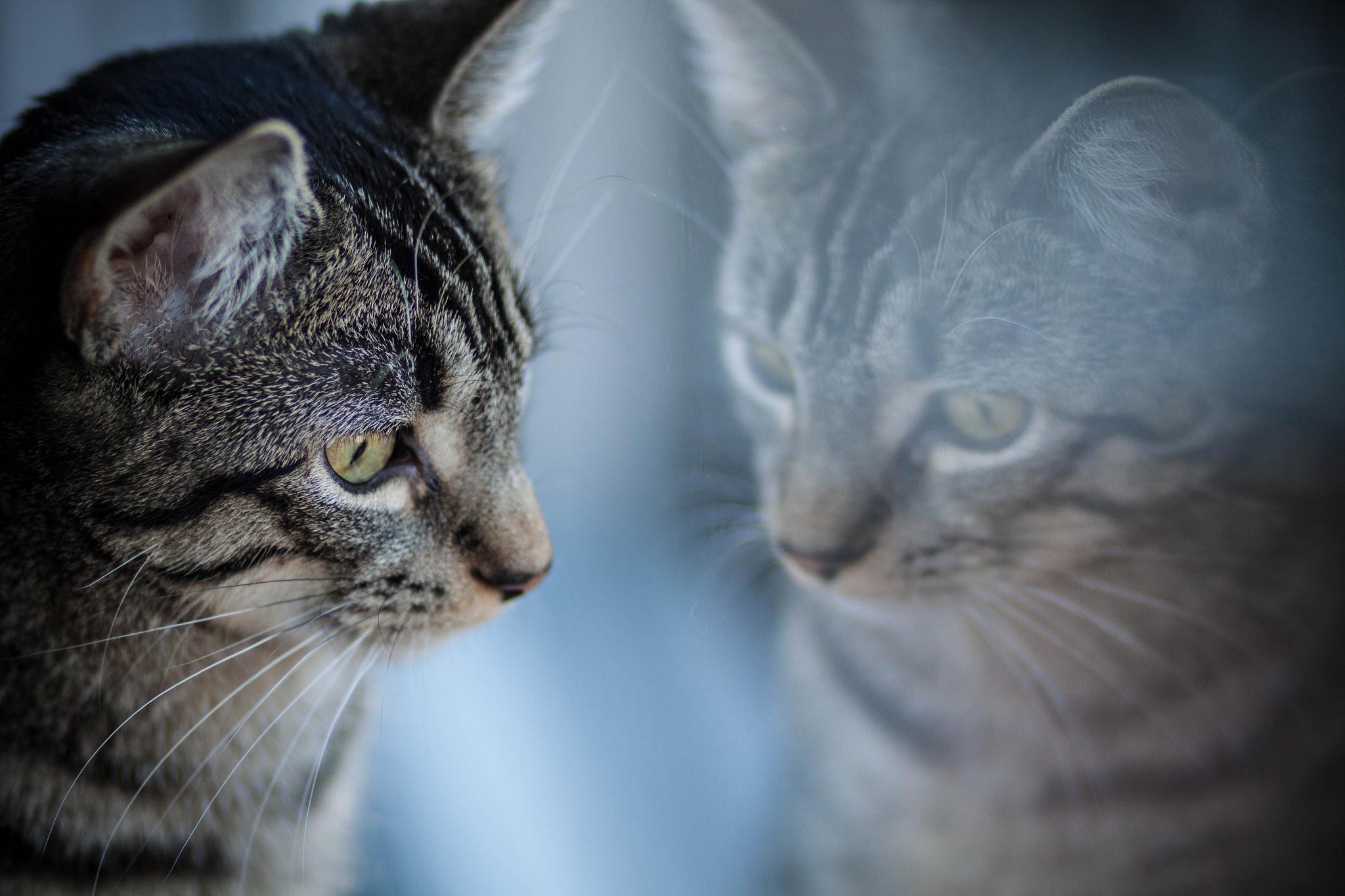 Кот с зеркалом  № 1689850 загрузить
