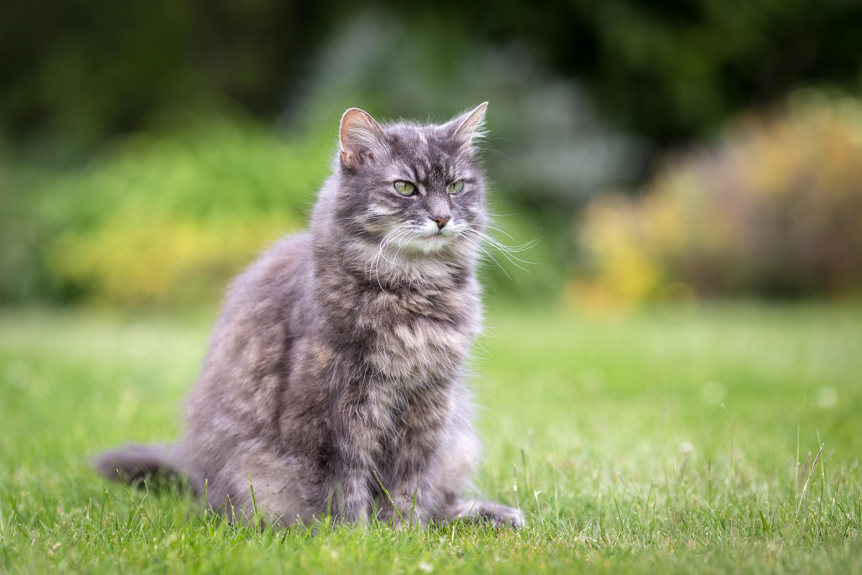 Дымчатый кот в траве  № 252445 загрузить
