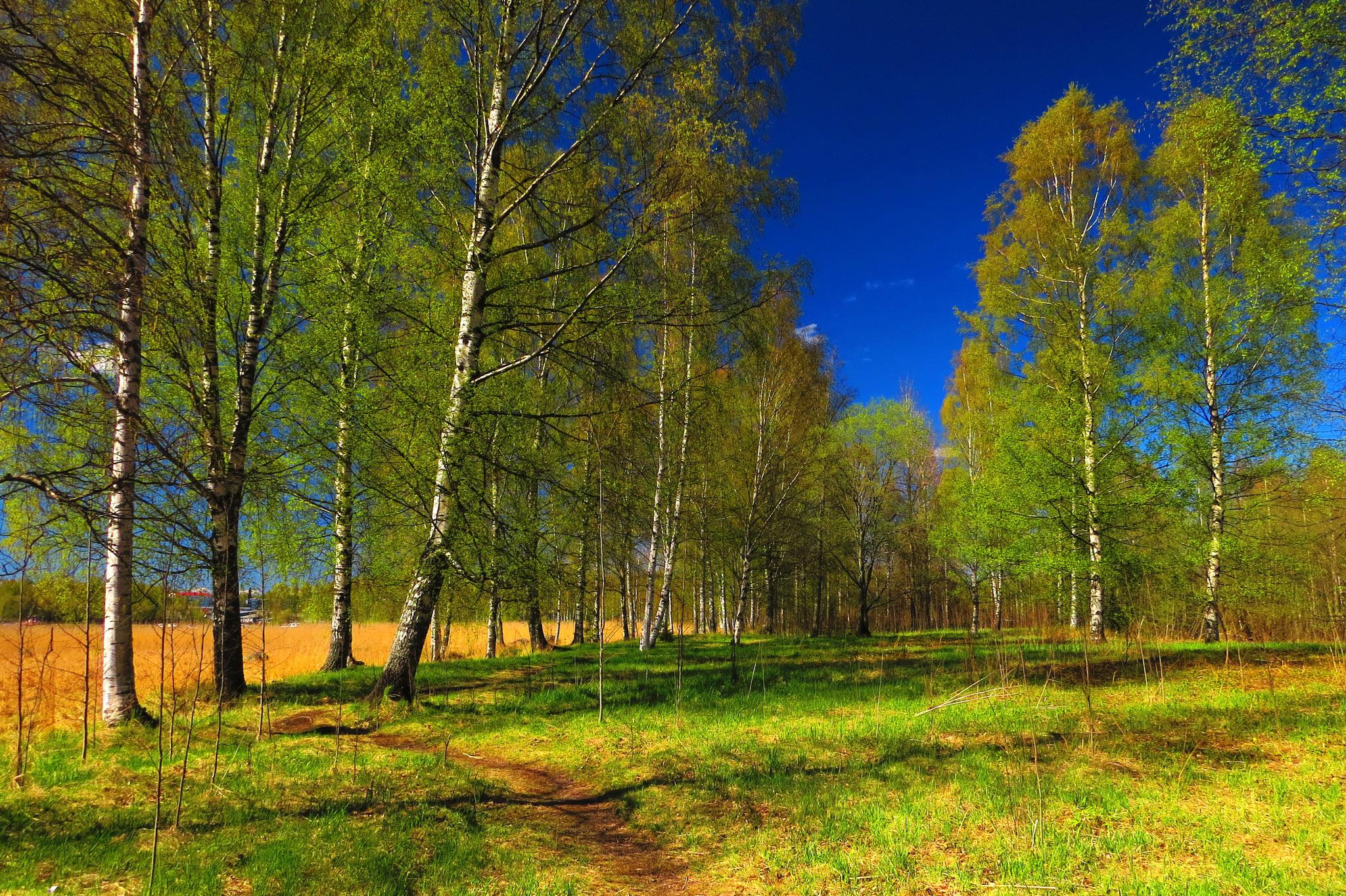 природа березы трава деревья закат nature birch grass trees sunset  № 1278535 загрузить